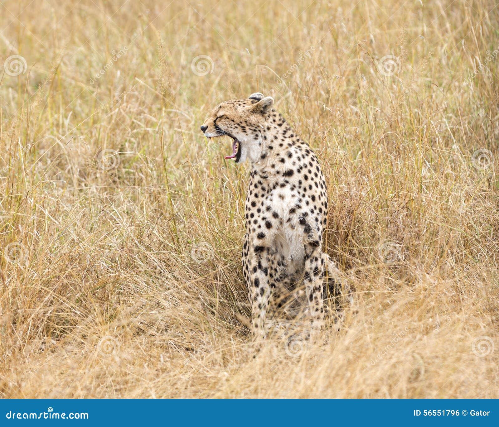 Download Τσιτάχ στοκ εικόνες. εικόνα από αφρικανικά, είδη, αφρική - 56551796