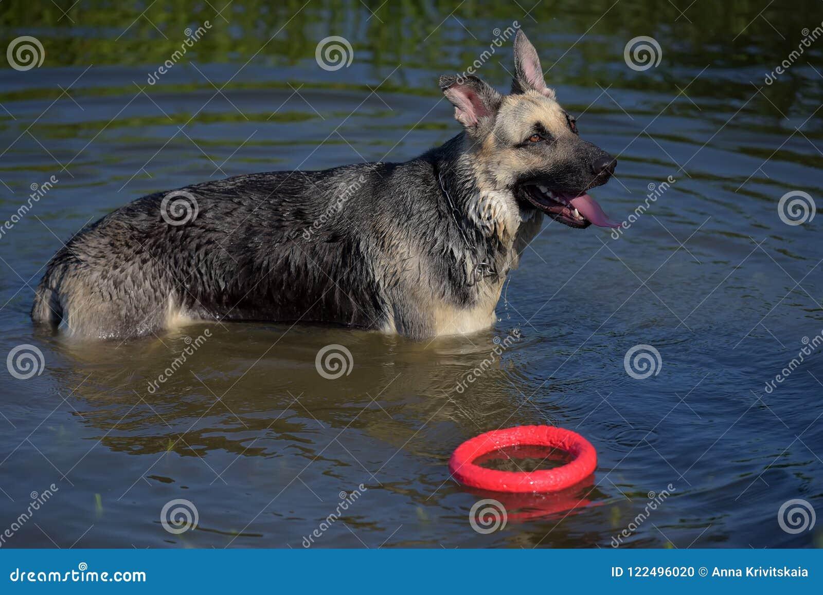 Τσοπανόσκυλο υγρό στη λίμνη
