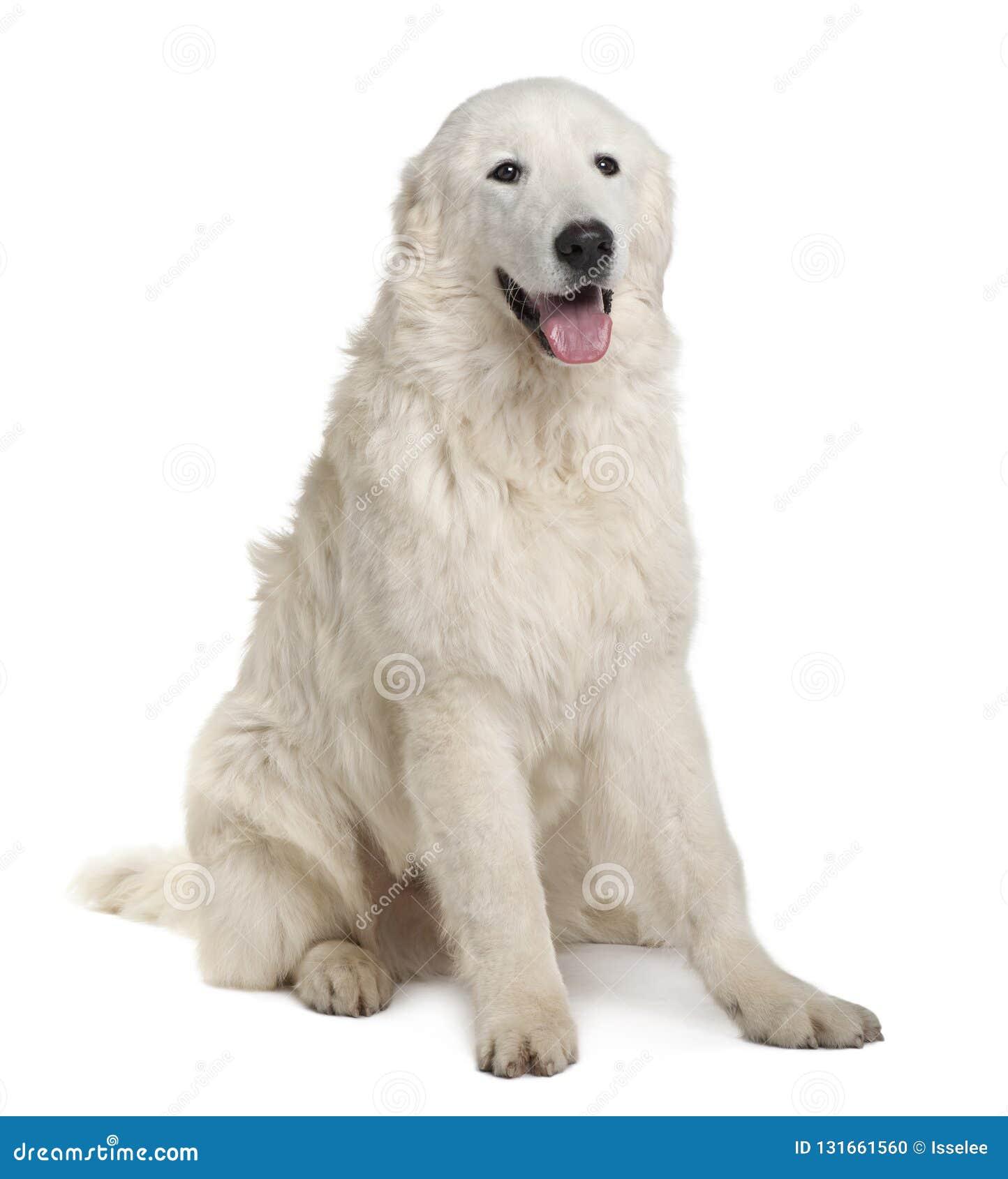Τσοπανόσκυλο Maremma, 7 μηνών