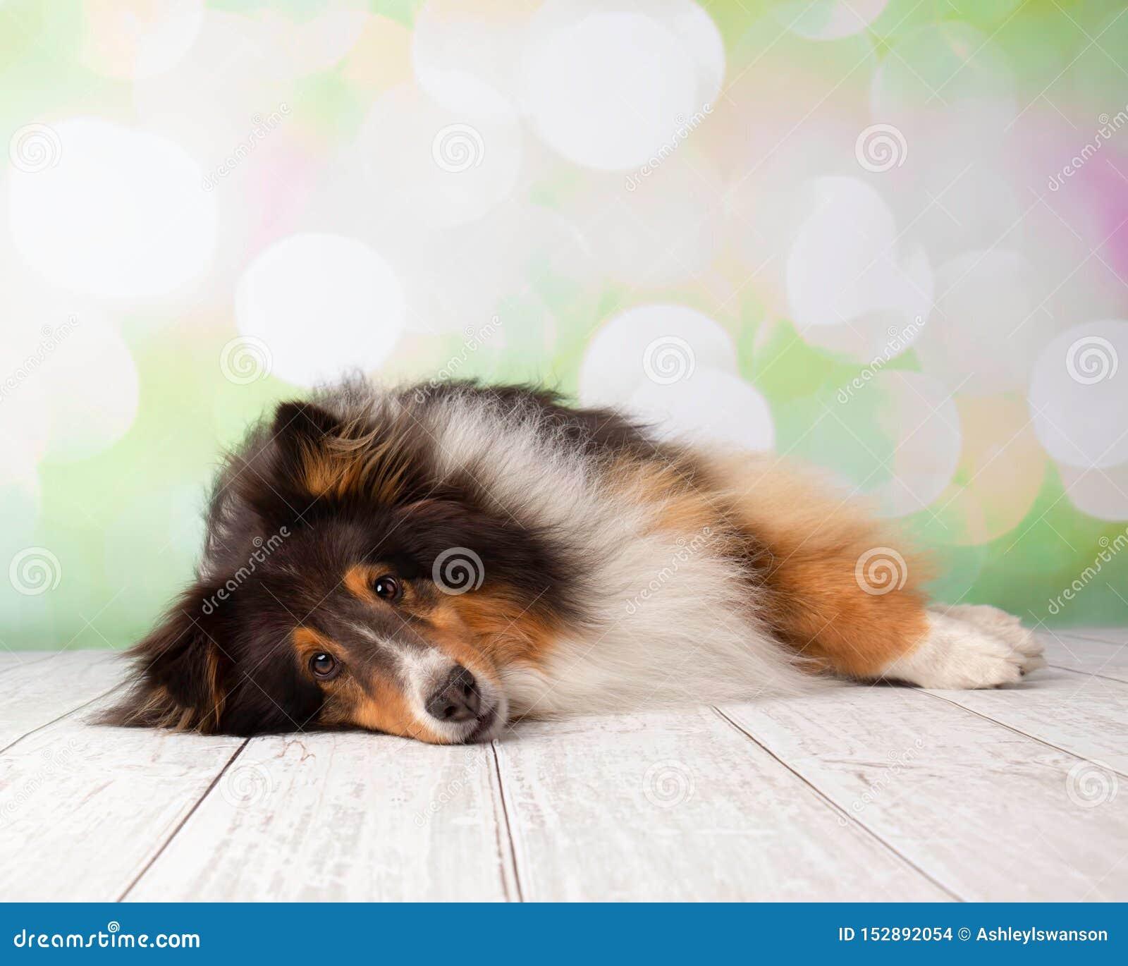 Τσοπανόσκυλο Shetland στο πορτρέτο στούντιο