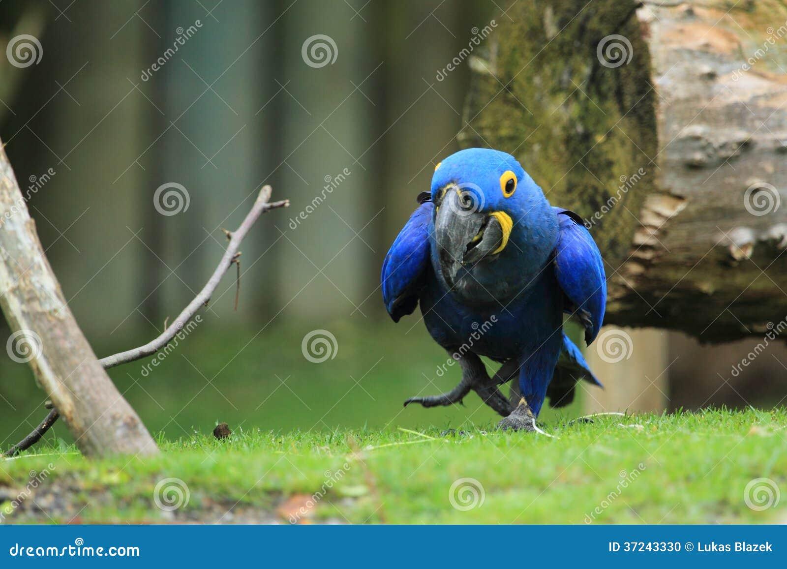 Υάκινθος macaw