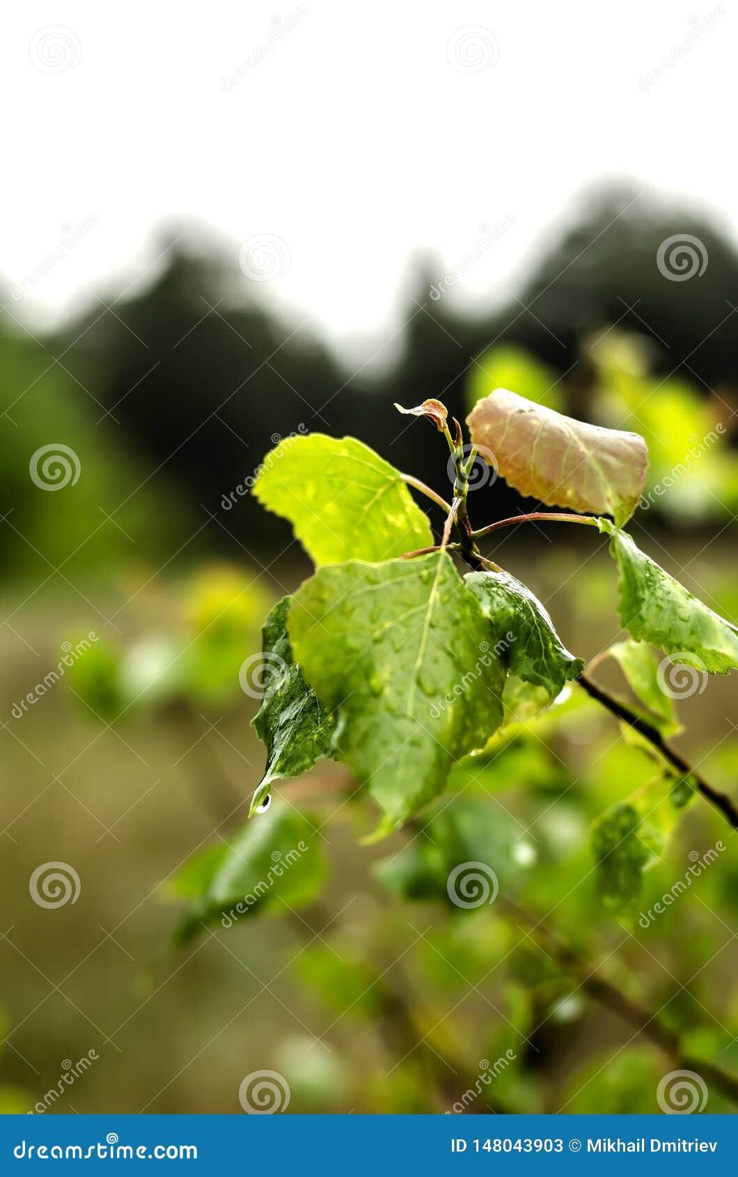 Υγρά πράσινα φύλλα μετά από τη βροχή