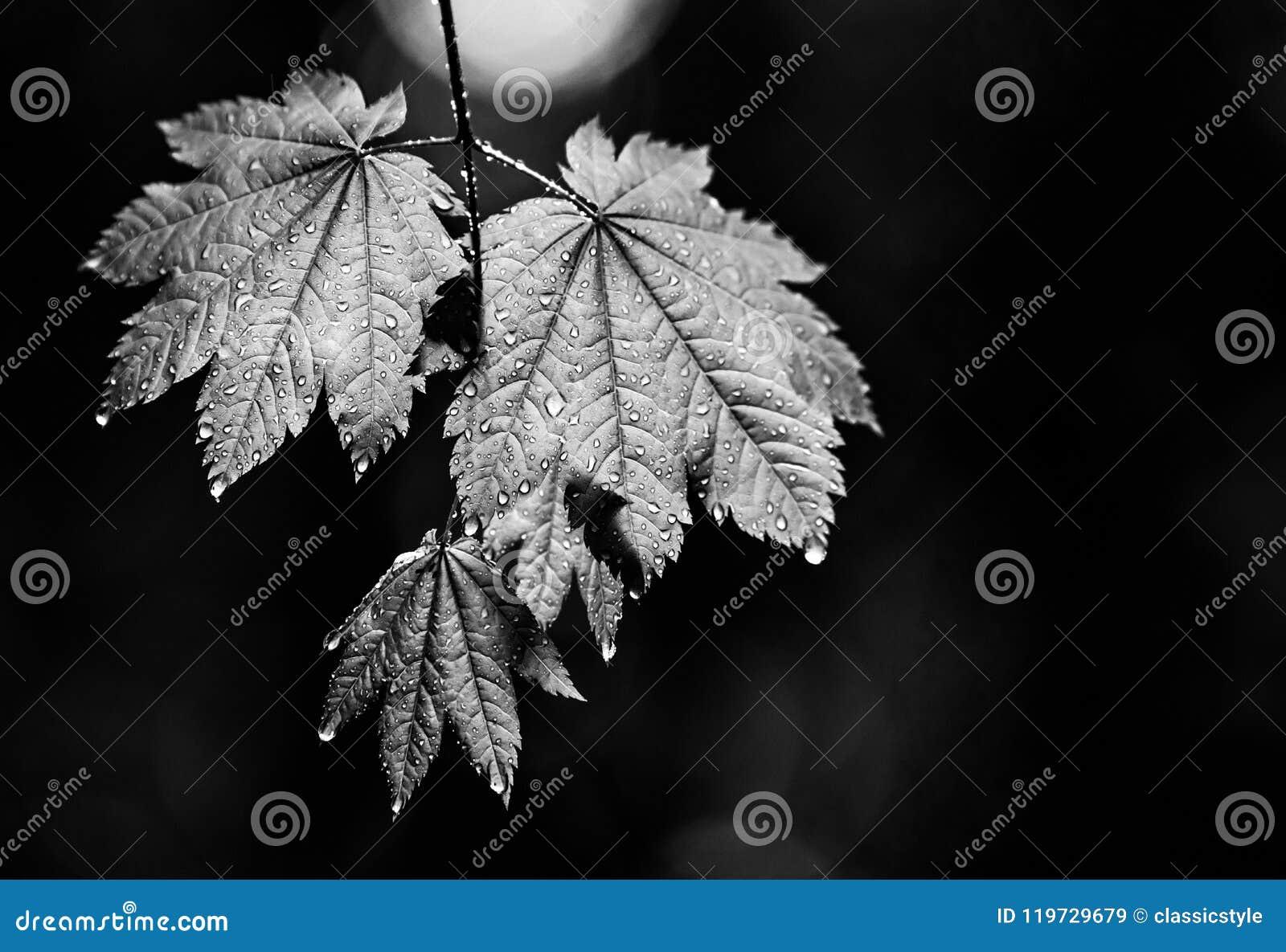 Υγρά φύλλα με το στάλαγμα πτώσεων βροχής