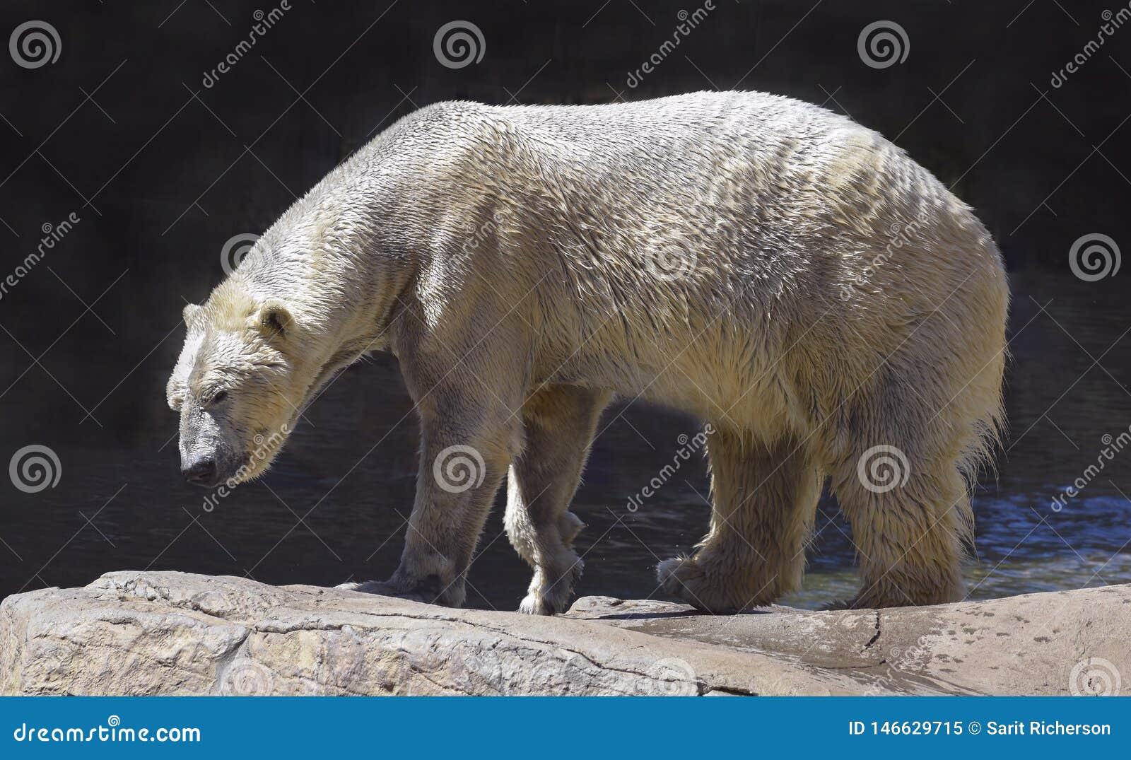 Υγρή πολική αρκούδα που περπατά στους φυσικούς λίθους