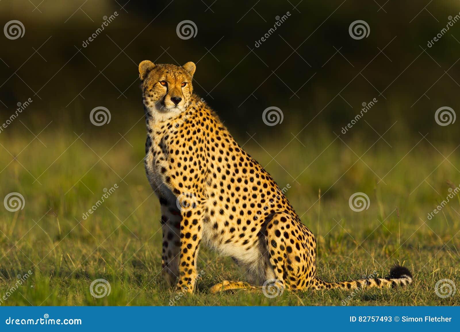Υπερήφανο να φανεί συνεδρίαση τσιτάχ στο λιβάδι, Masai Mara, Κένυα