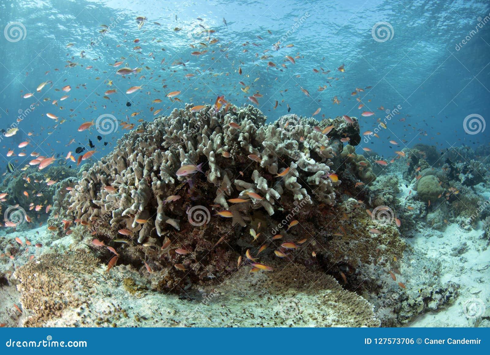 Υποβρύχια σκηνή ζωής Celebes της θάλασσας