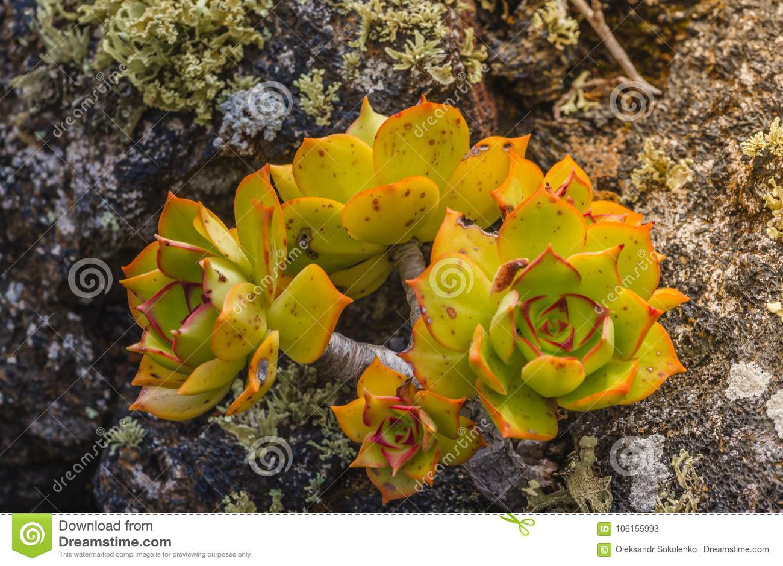 Υποτροπικός θάμνος του λουλουδιού δέντρων aeonium οικογενειακού Crassulaceae