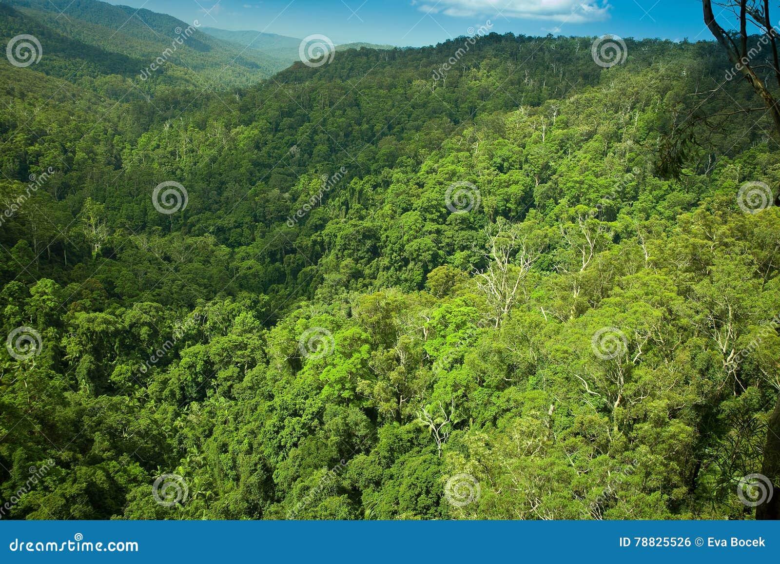 Υποτροπικός πιό rainforrest στο εθνικό πάρκο Springbrook
