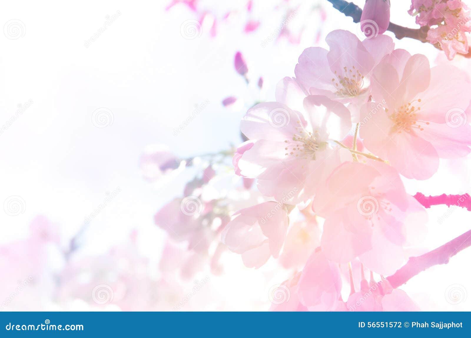 Download Υπόβαθρο ανθών κερασιών στο φως κλίσης Στοκ Εικόνες - εικόνα από ροζ, floral: 56551572