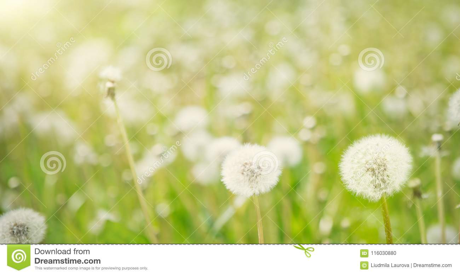 Υπόβαθρο ανοίξεων φύσης με τα άσπρα χνουδωτά λουλούδια πικραλίδων
