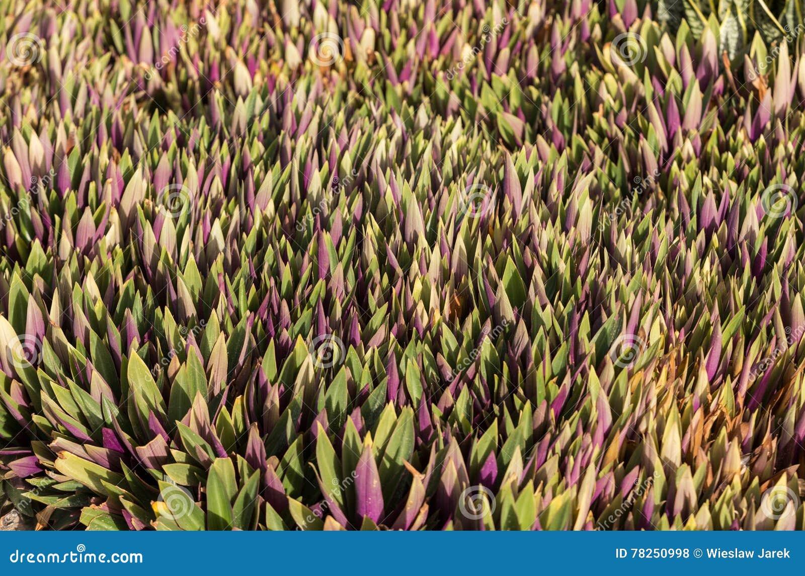 υπόβαθρο από στα πράσινα πορφυρά φύλλα