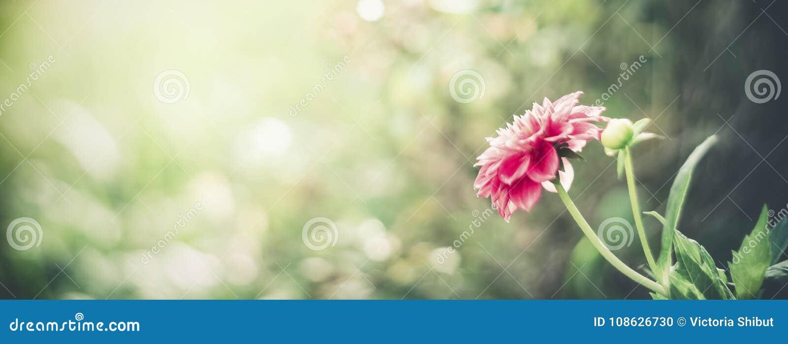 Υπόβαθρο θερινής φύσης με το ρόδινο λουλούδι στο bokeh Πρότυπο κήπων λουλουδιών