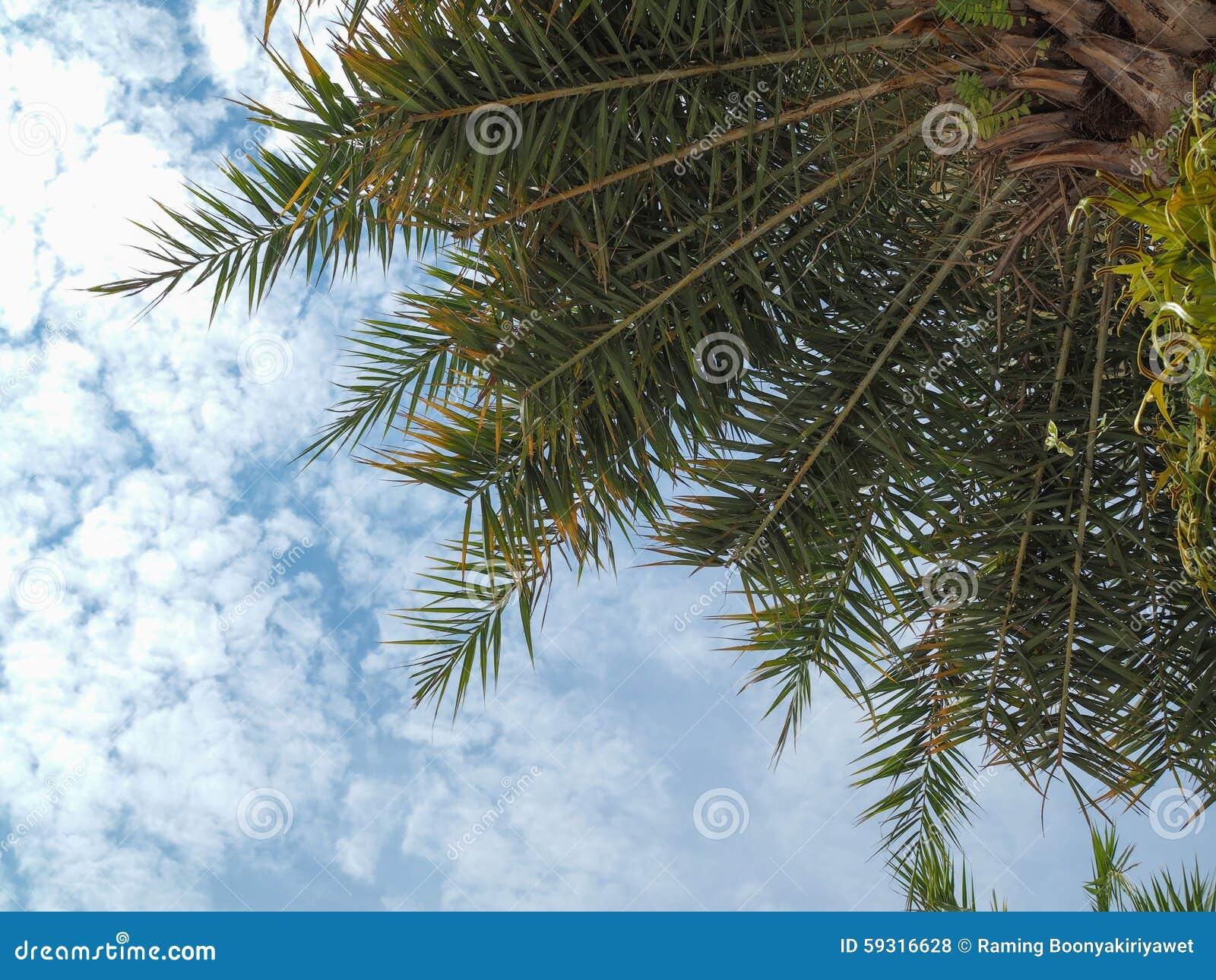 Υπόβαθρο μπλε ουρανού φοινίκων καρύδων