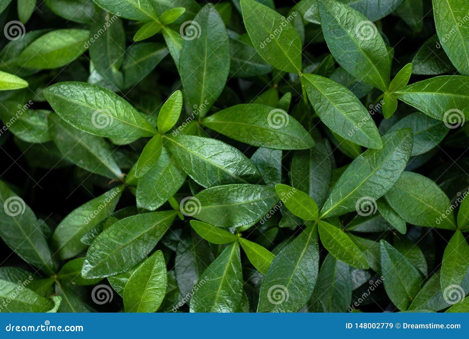 Υπόβαθρο των πράσινων φύλλων