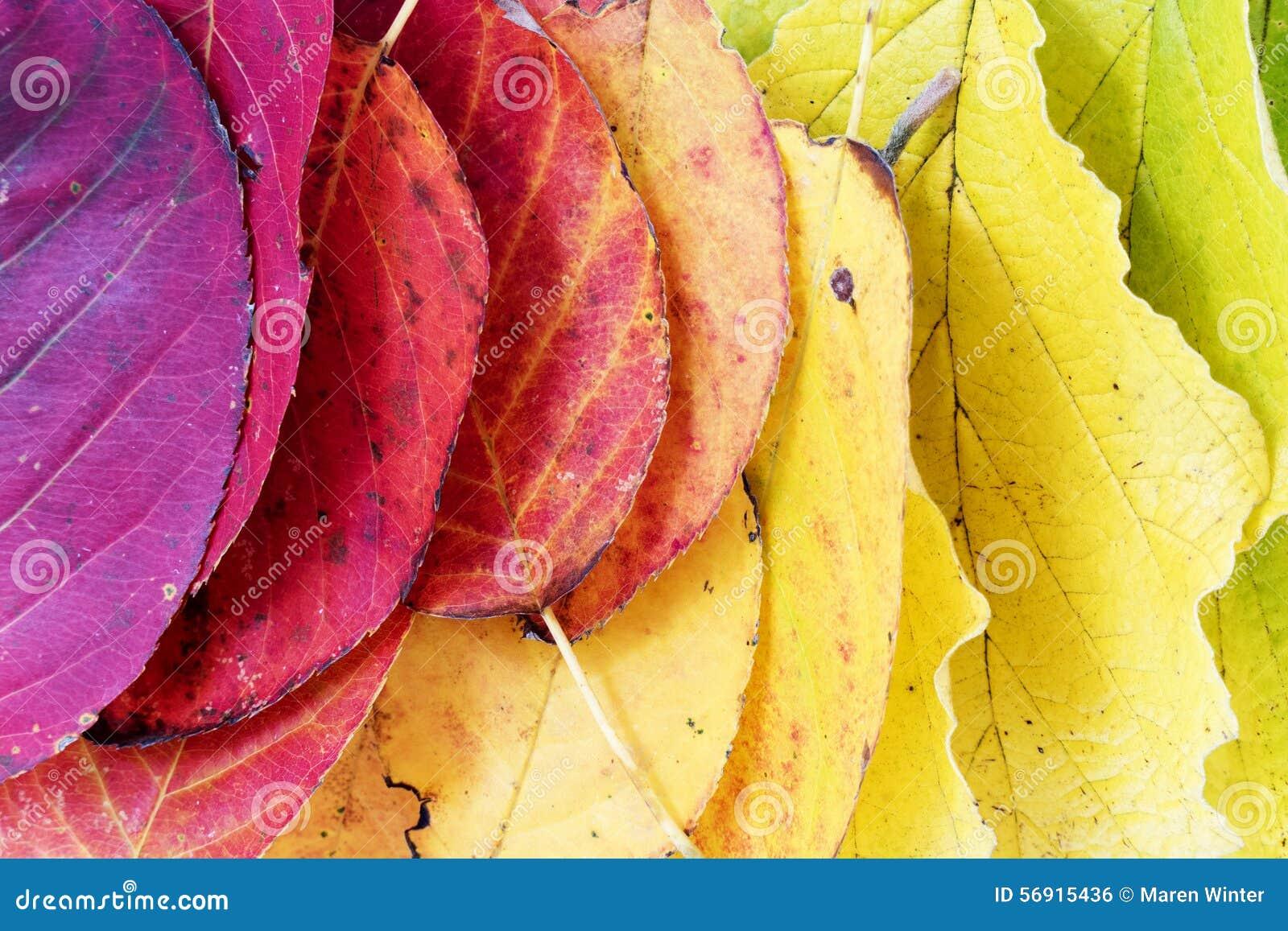 Υπόβαθρο φθινοπώρου, ζωηρόχρωμα φύλλα που τακτοποιούνται ως ουράνιο τόξο