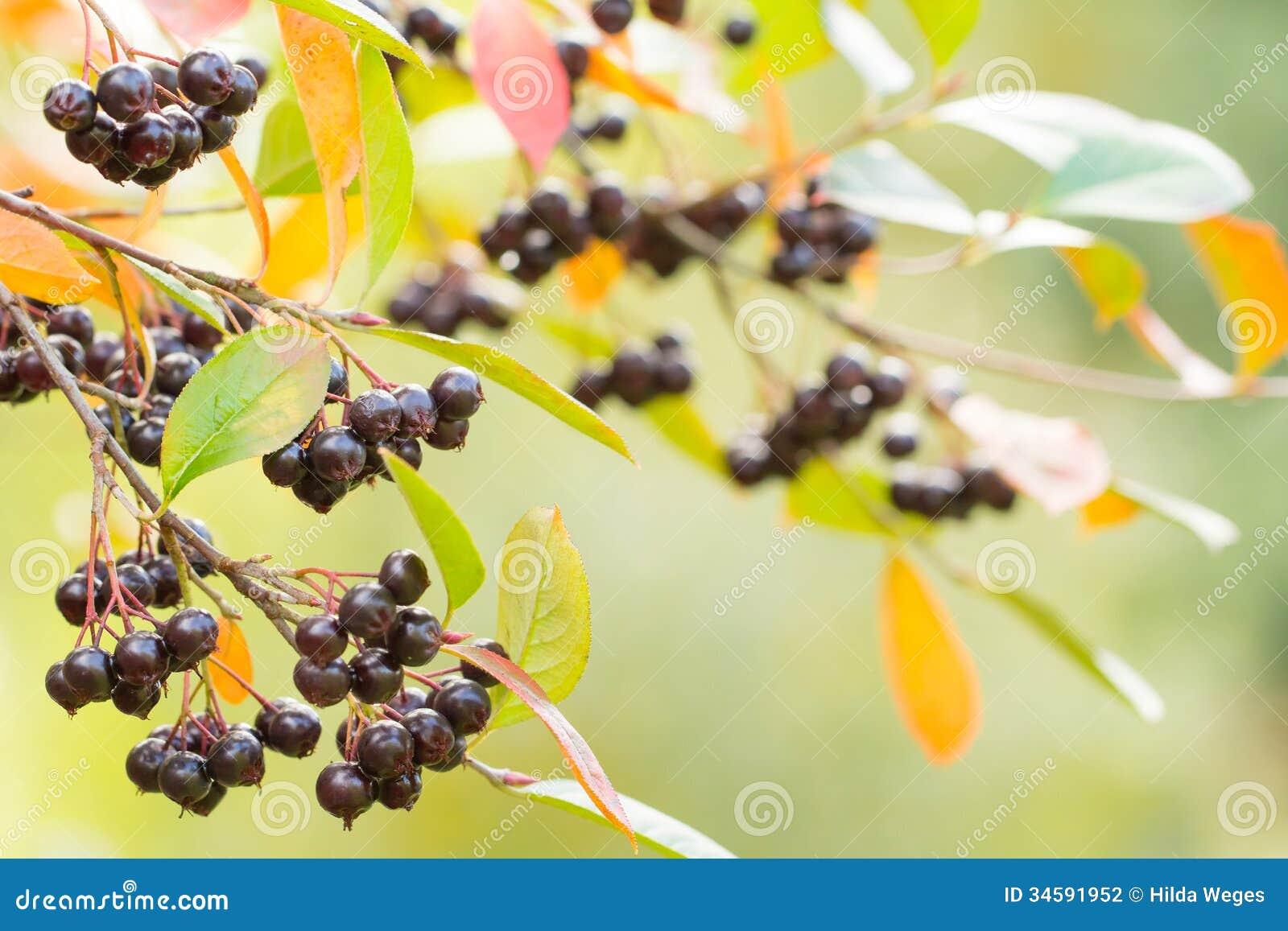 Υπόβαθρο φθινοπώρου με τα μούρα