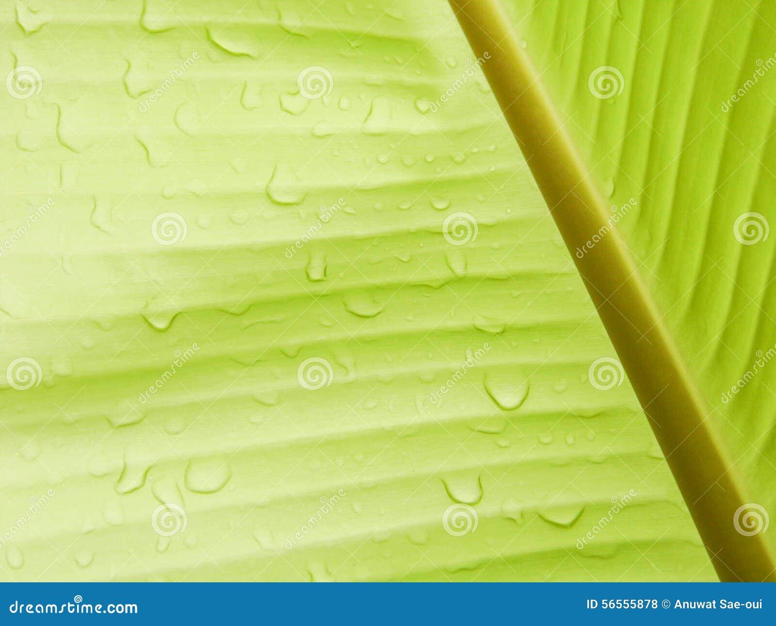 Download Υπόβαθρο φύλλων μπανανών με τη σταγόνα βροχής Στοκ Εικόνες - εικόνα από ύδωρ, φύση: 56555878
