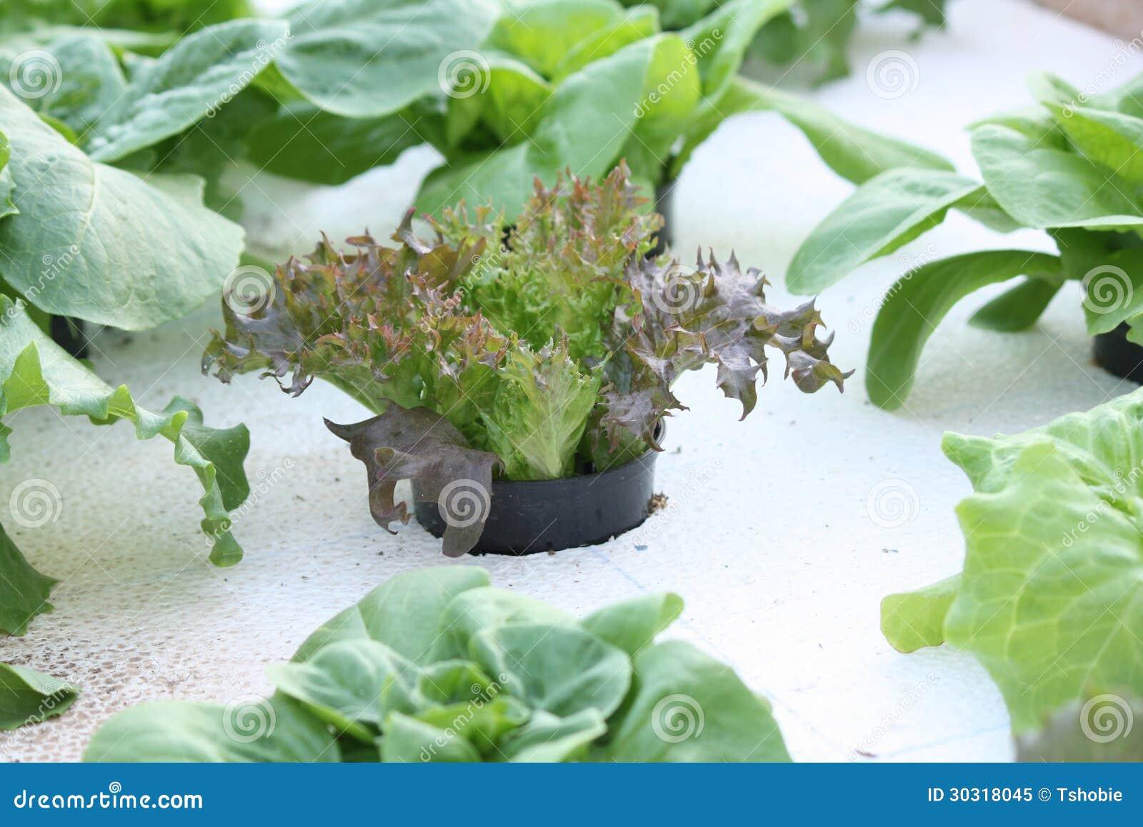 Υδροπονικό μαρούλι μωρών
