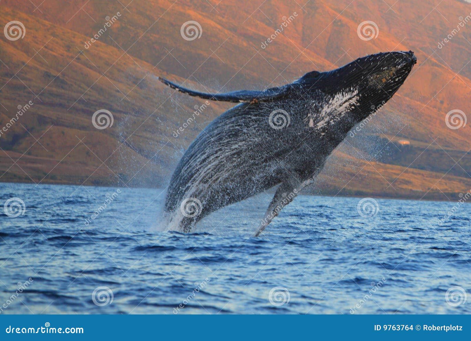 φάλαινα παραβίασης humpback