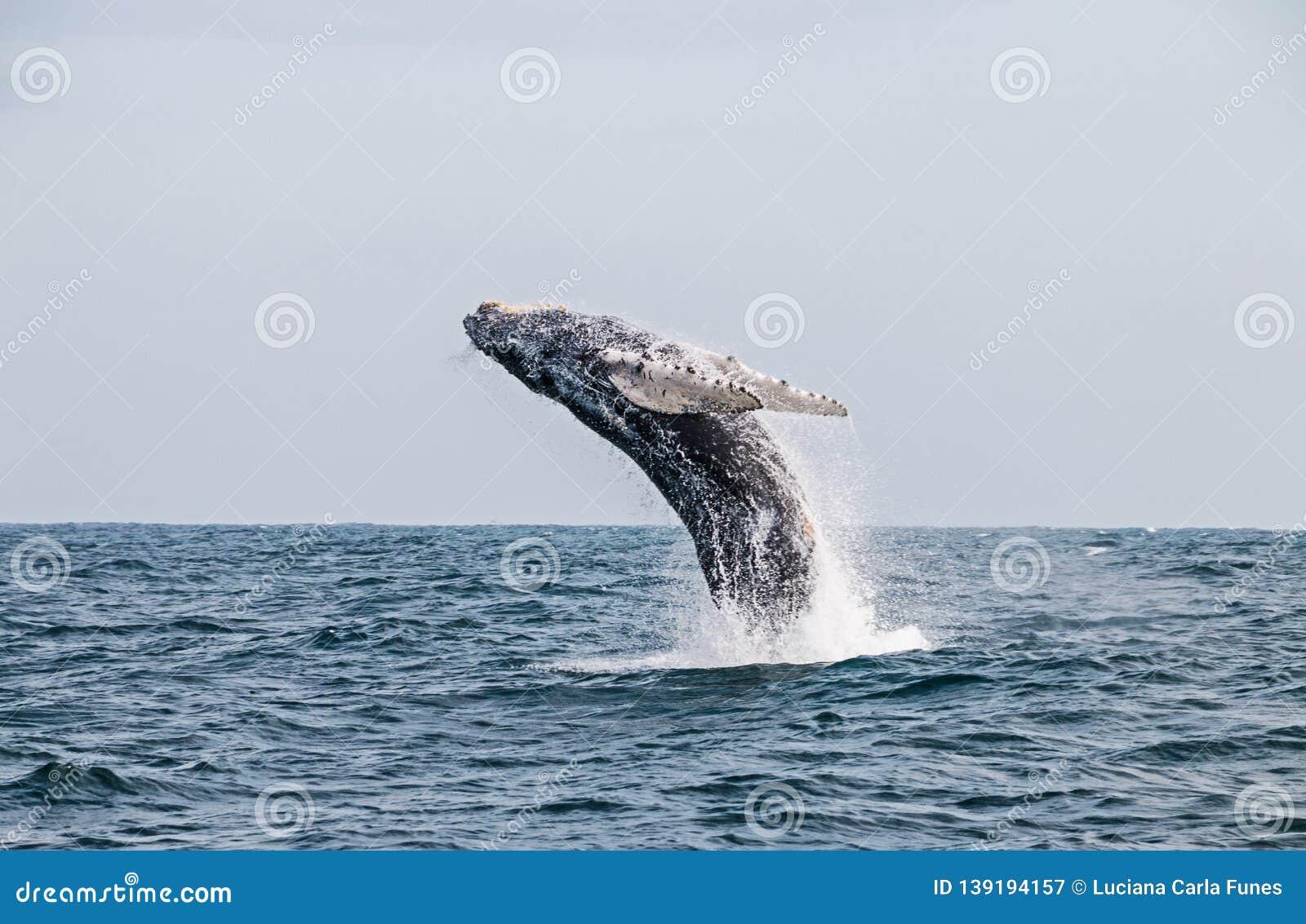 Φάλαινα Humpback που πηδά στον περουβιανό Ειρηνικό Ωκεανό Δεύτερο τέντωμα