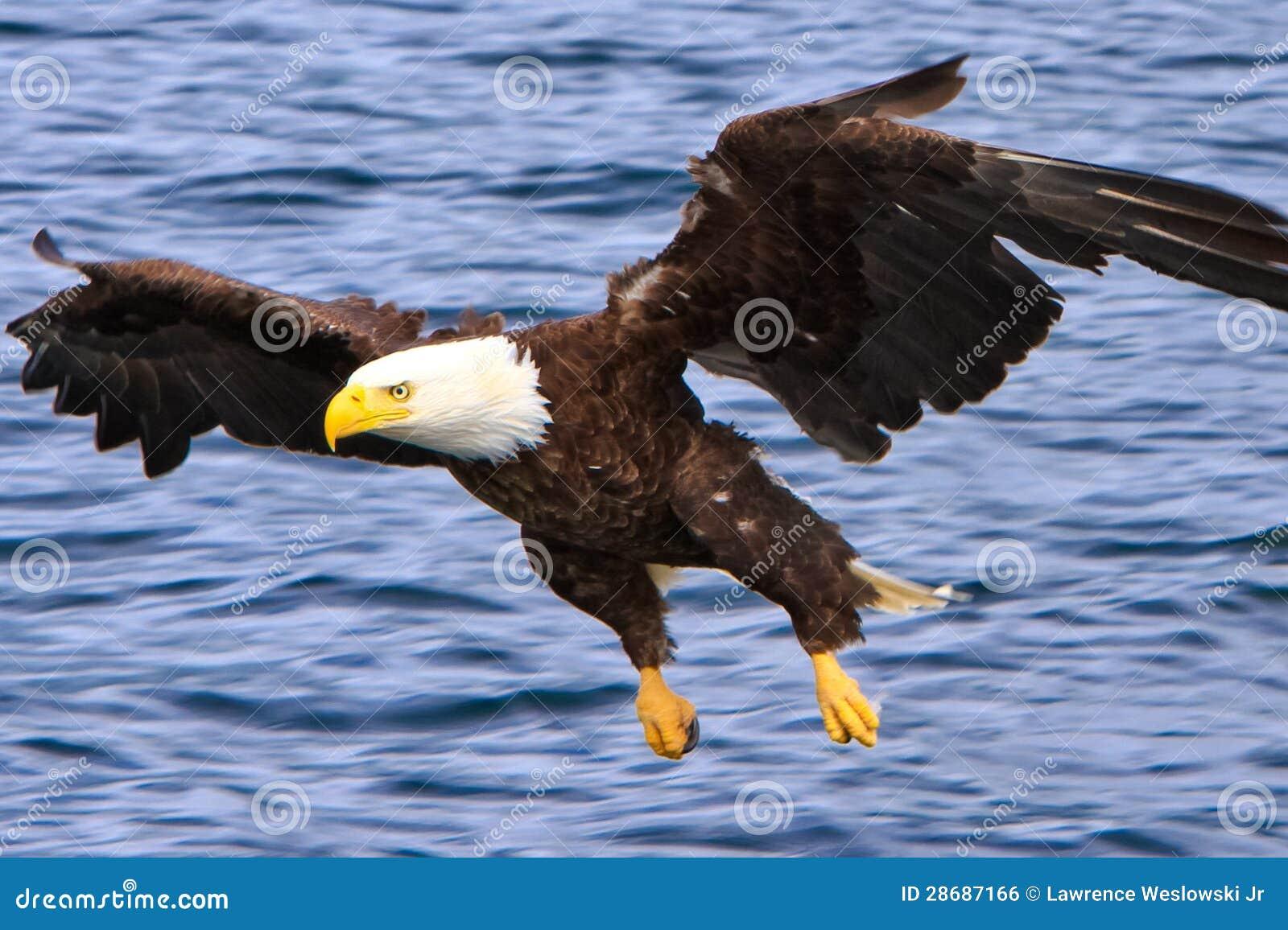 Φαλακρός αετός της Αλάσκας που πετά χαμηλά