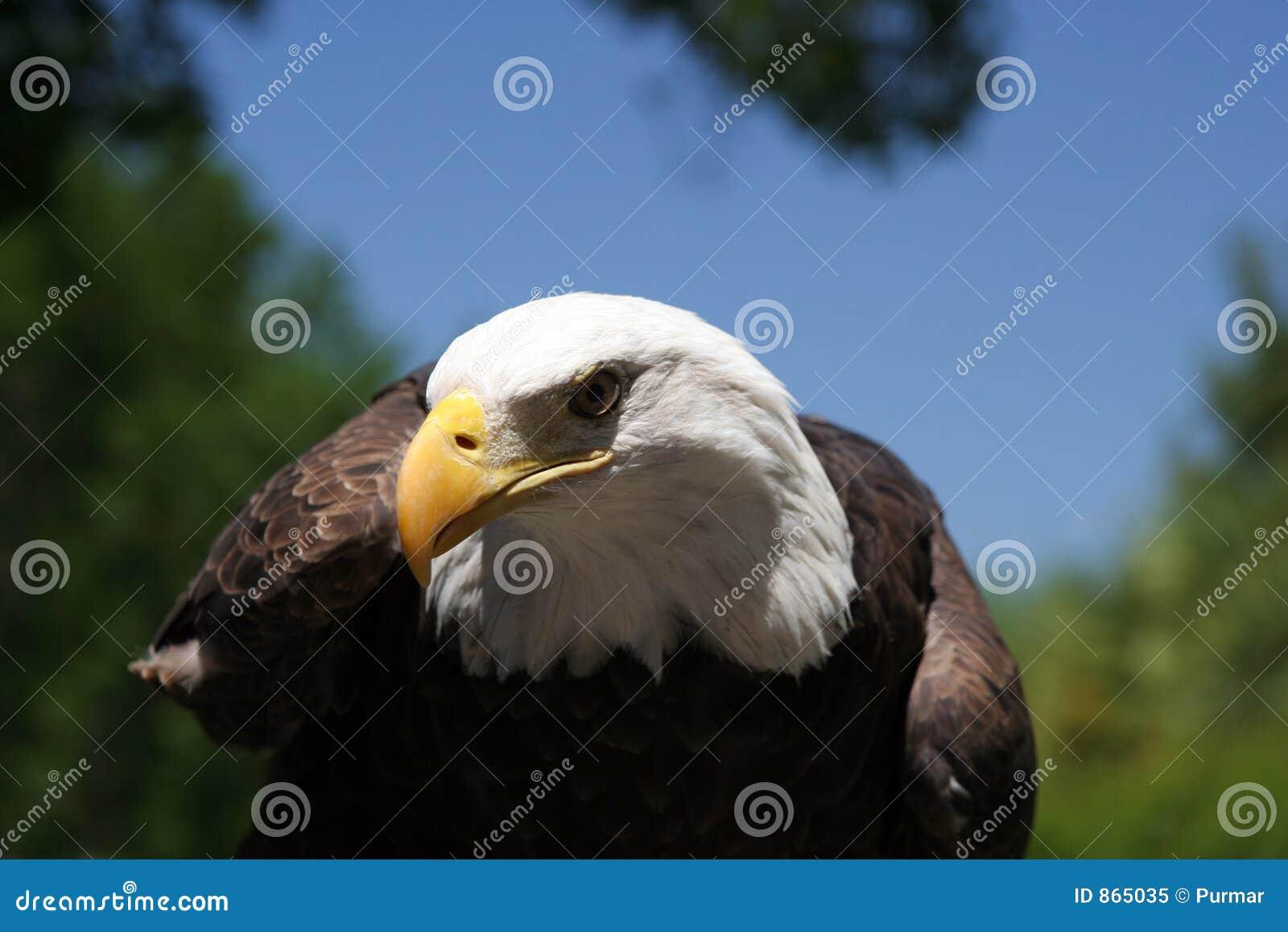Φαλακρός αετός 2