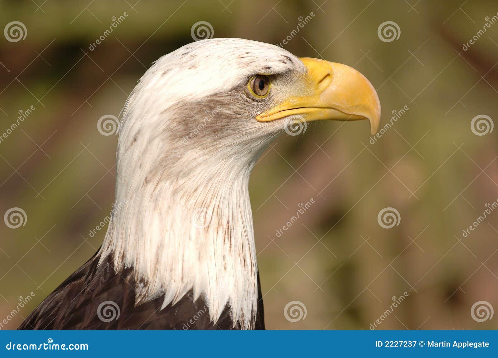 φαλακρό κεφάλι αετών