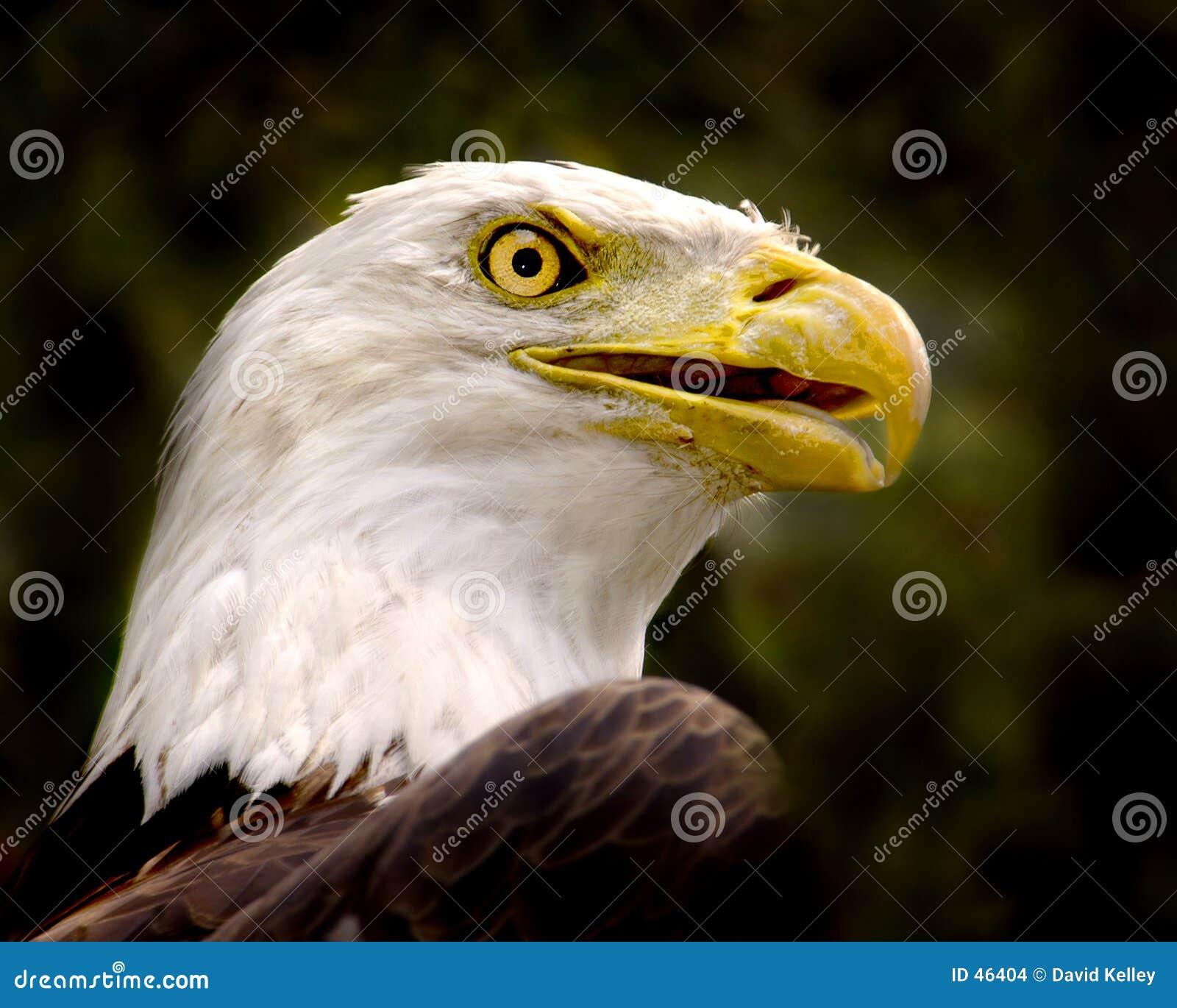 φαλακρό πορτρέτο αετών