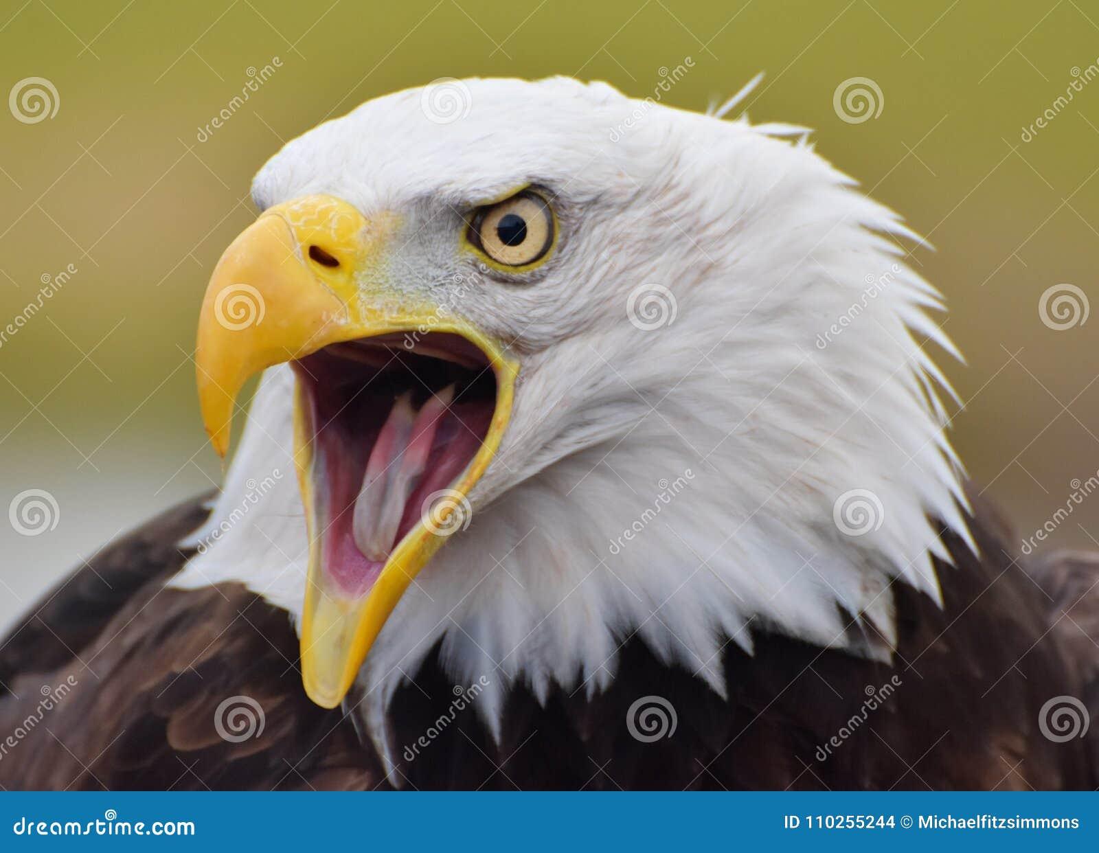 Φαλακρό leucocephalus Haliaeetus αετών