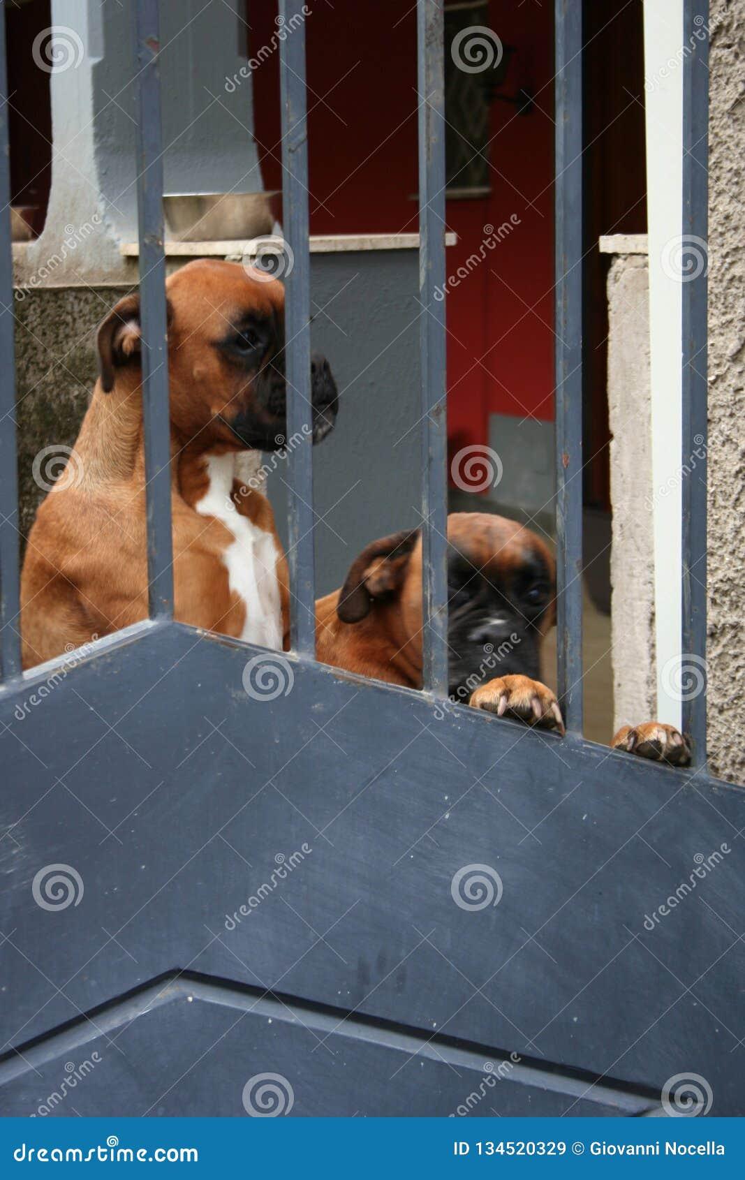 ΦΑΝΤΑΣΤΙΚΑ ΣΚΥΛΙΑ - ρολόι έξω! Φρουρά δύο σκυλιών μπόξερ πίσω από μια πύλη