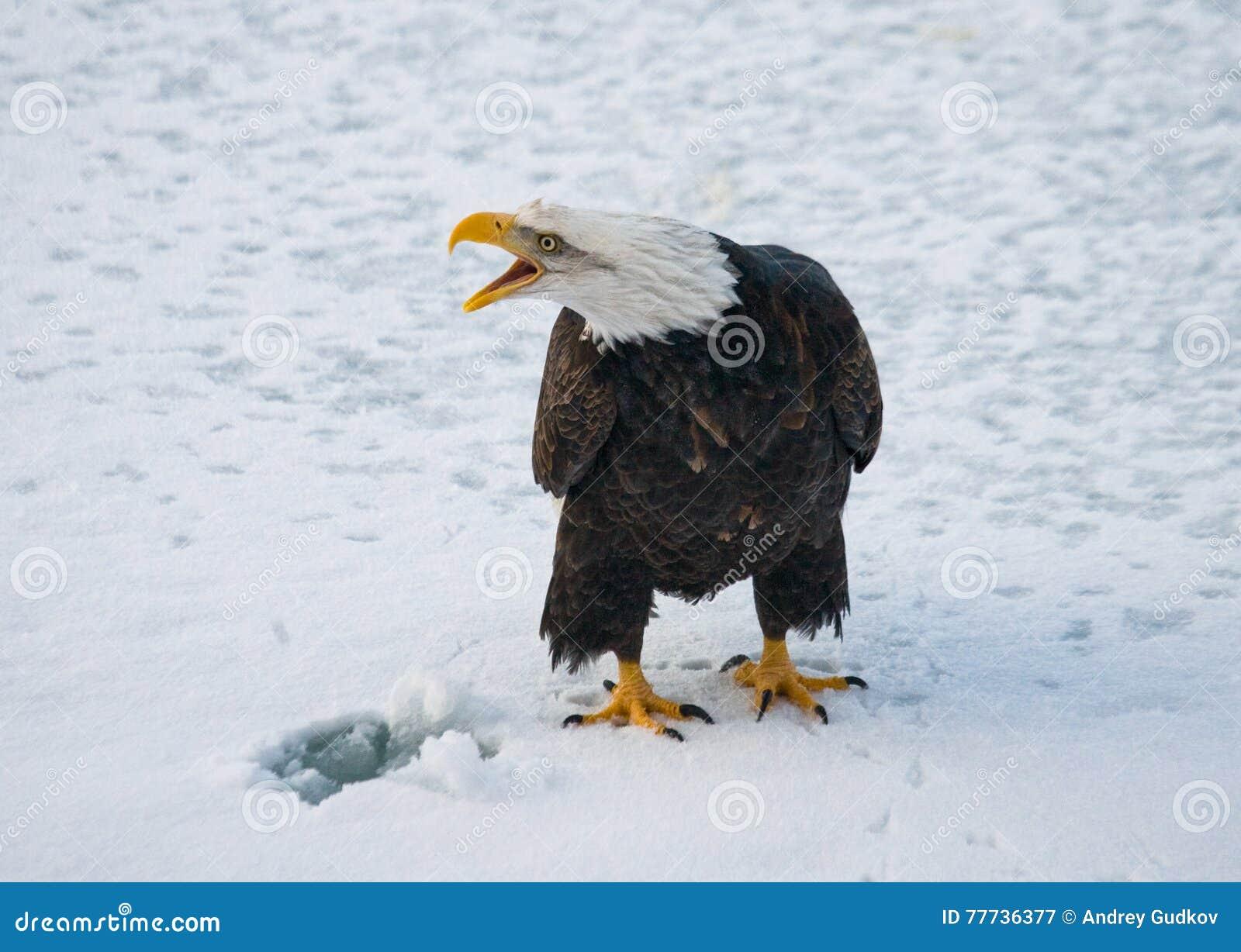 Φαλακρή συνεδρίαση αετών στο χιόνι ΗΠΑ Ποταμός Chilkat albedo