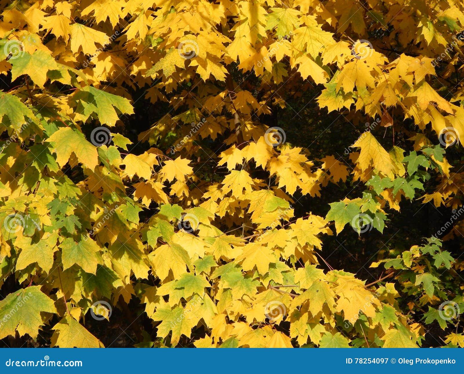 Φθινόπωρο στα κίτρινα φύλλα πόλεων το πάρκο