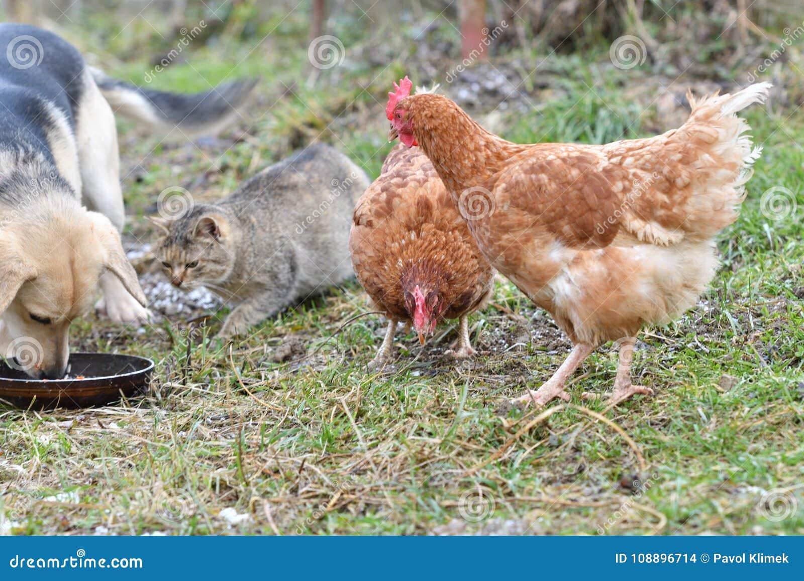 Φιλική κατανάλωση γατών και σκυλιών κοτόπουλου κατοικίδιων ζώων από κοινού
