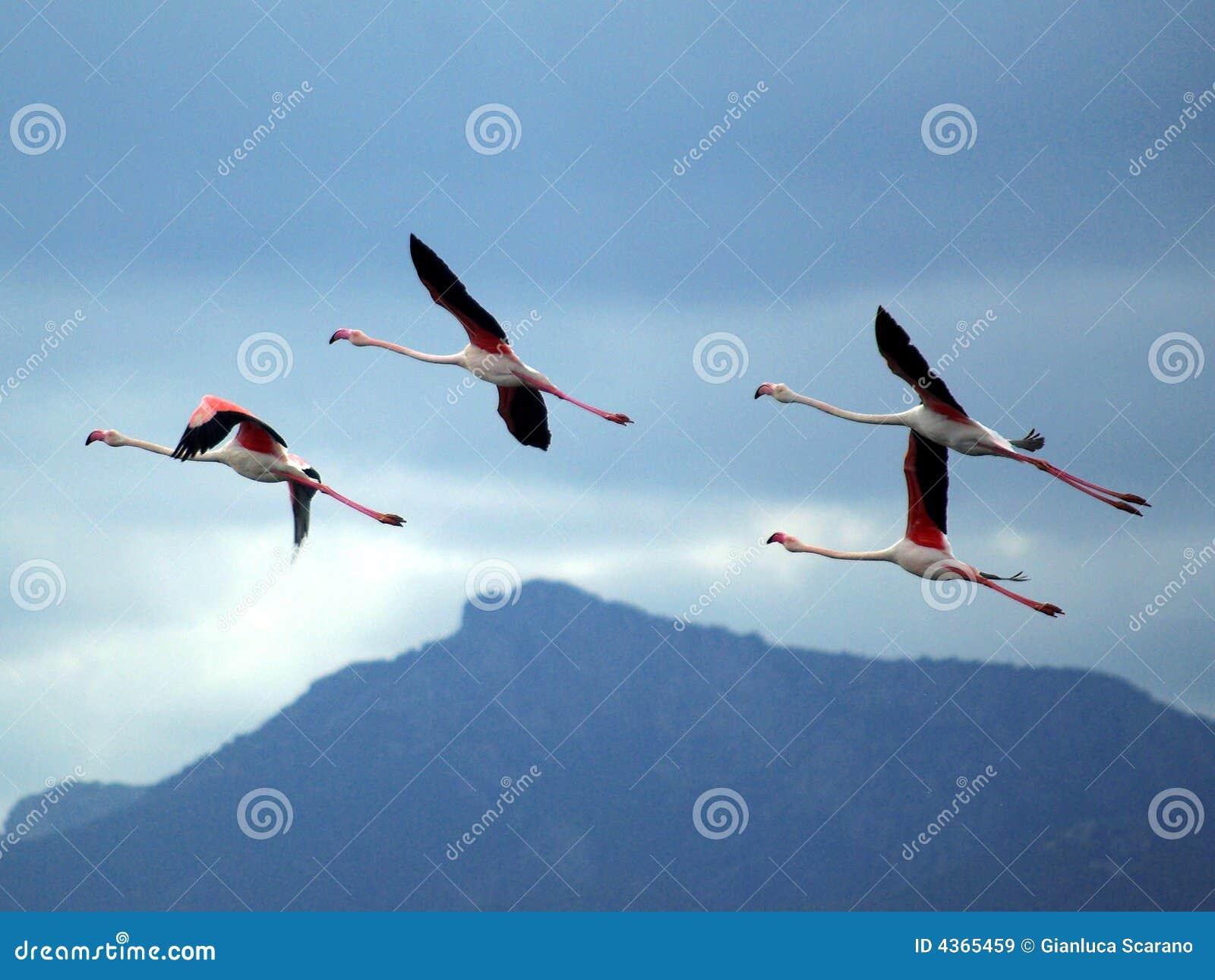 φλαμίγκο που πετούν το ρ&omic