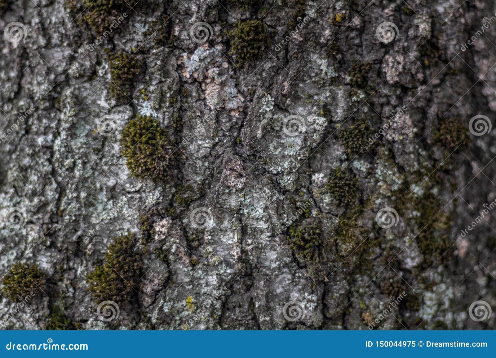 Φλοιός δέντρων στενό στον επάνω βρύου r
