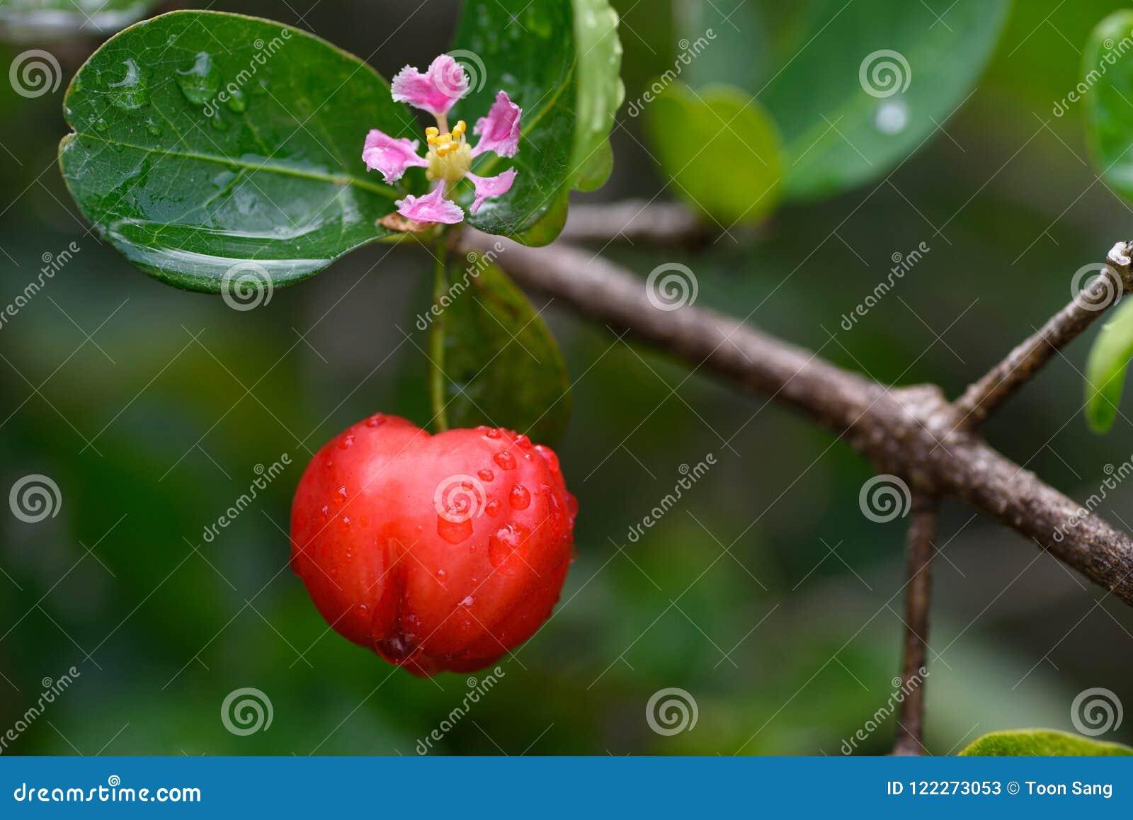 Φρέσκα οργανικά φρούτα κερασιών Acerola στο δέντρο με τις πτώσεις λουλουδιών και νερού