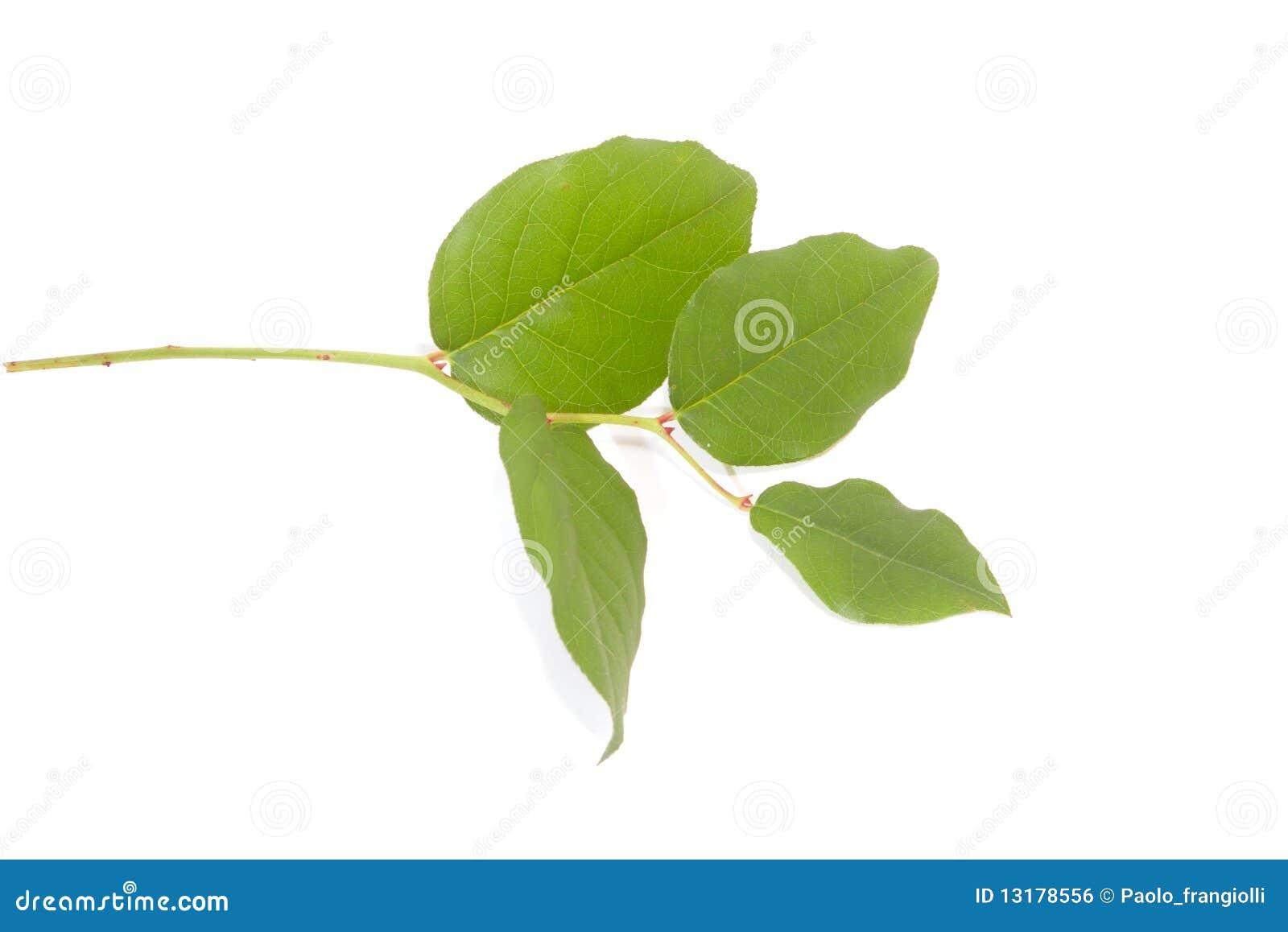 φρέσκα πράσινα απομονωμένα &