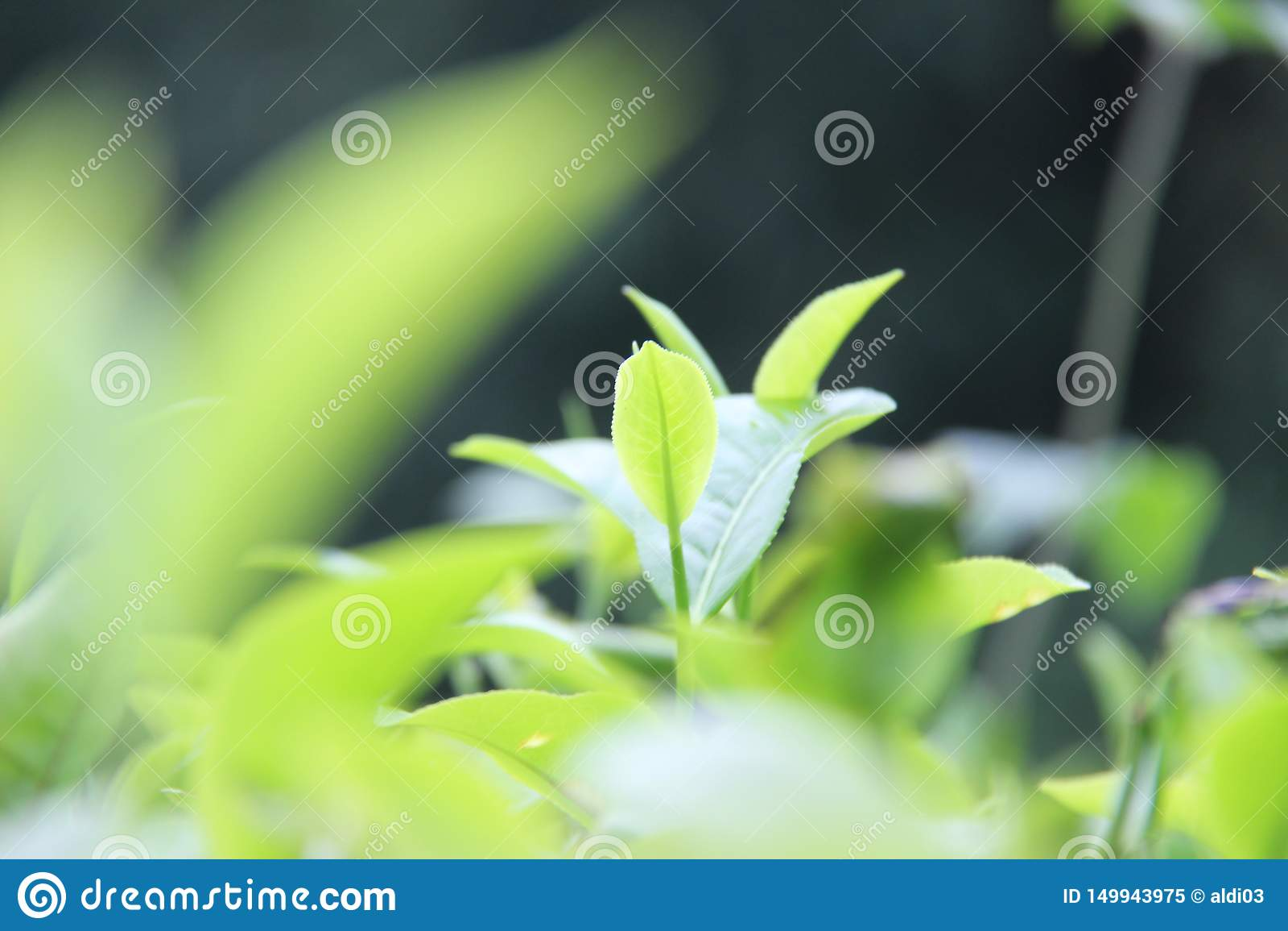 Φρέσκα πράσινα φύλλα τσαγιού στο λόφο kuneer, Μαλάνγκ - Ινδονησία