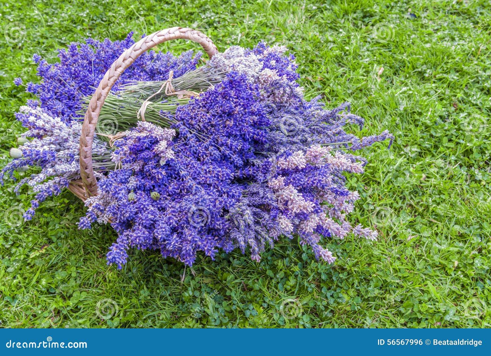 Download Φρέσκα lavender λουλούδια στοκ εικόνες. εικόνα από κλείστε - 56567996