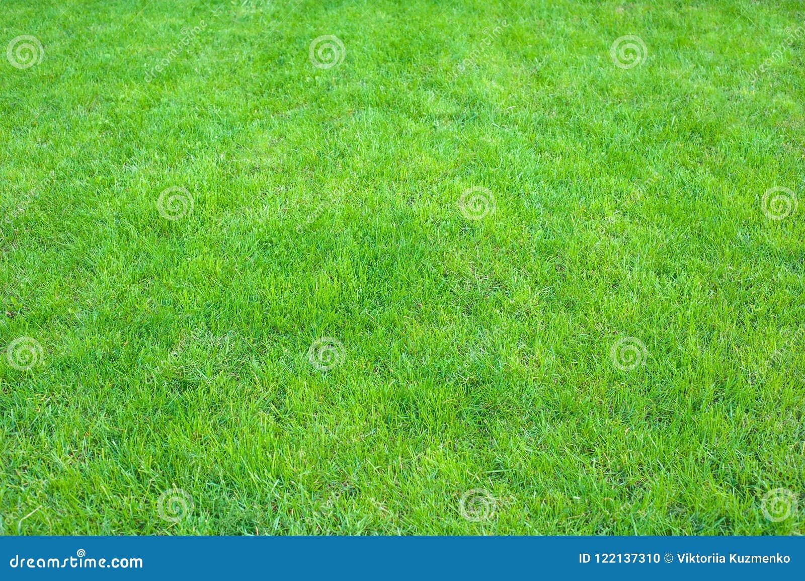 Φρέσκος πράσινος στενός επάνω χορτοταπήτων Ψαλιδισμένο πράσινο υπόβαθρο χλόης