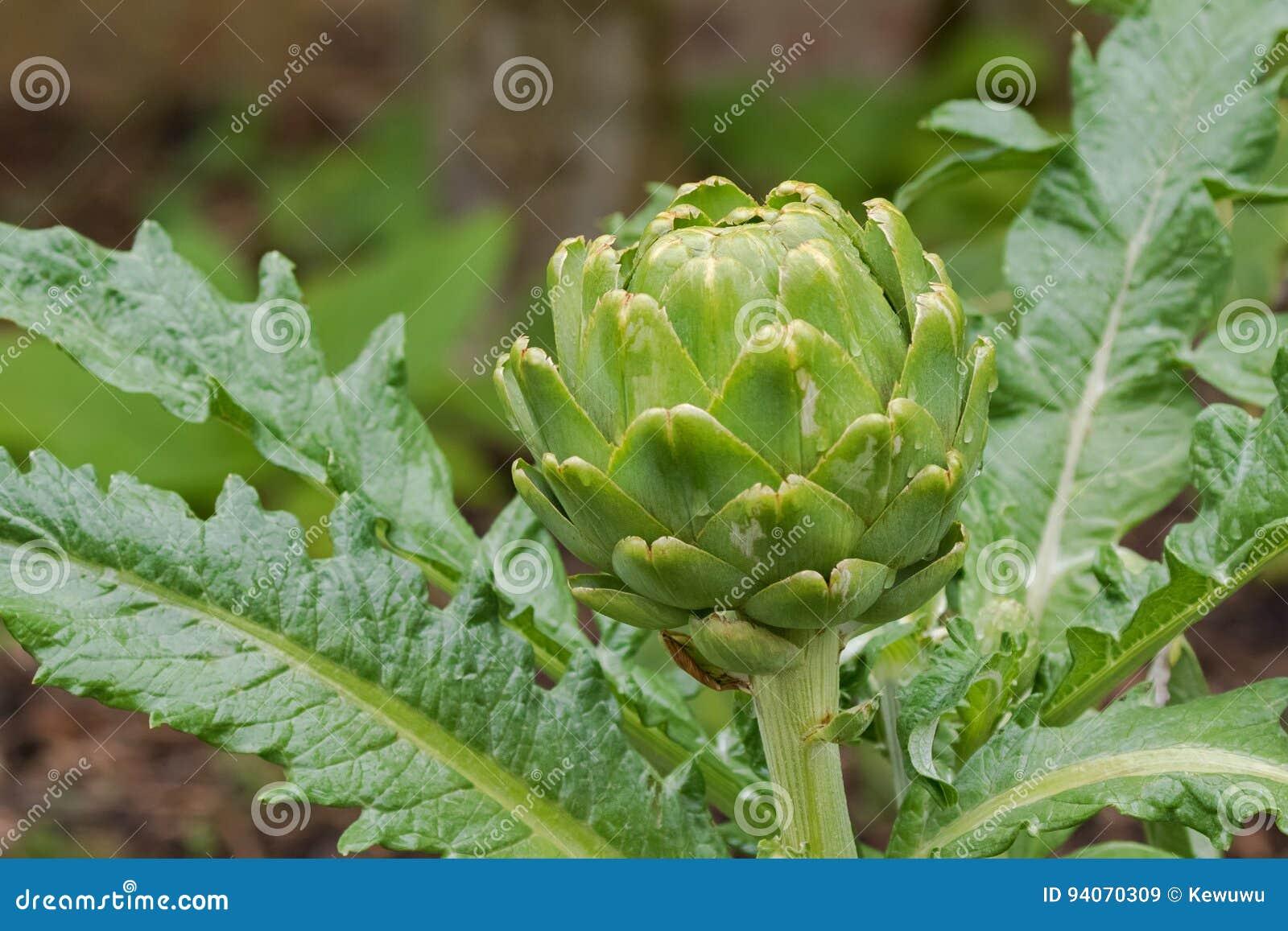Φρέσκος homegrown πράσινος φυτικός επικεφαλής οφθαλμός αγκιναρών σφαιρών