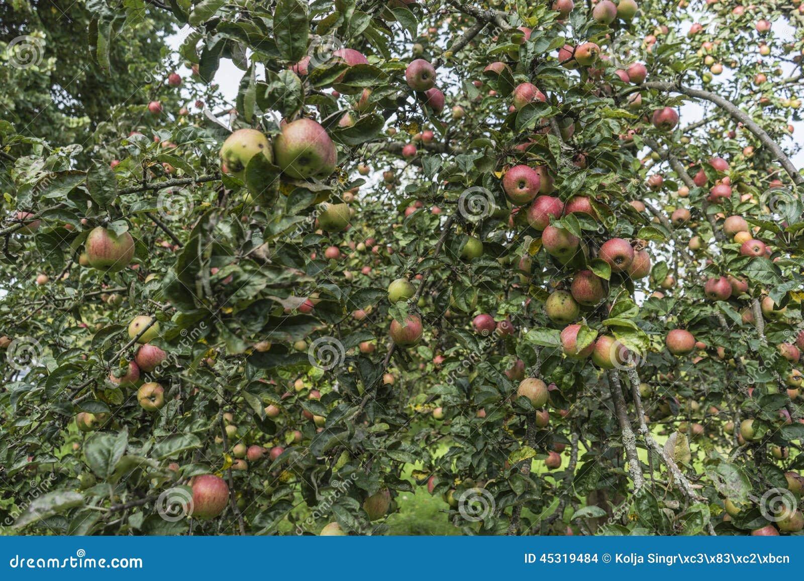 Φρέσκο κόκκινο μήλο σε ένα δέντρο