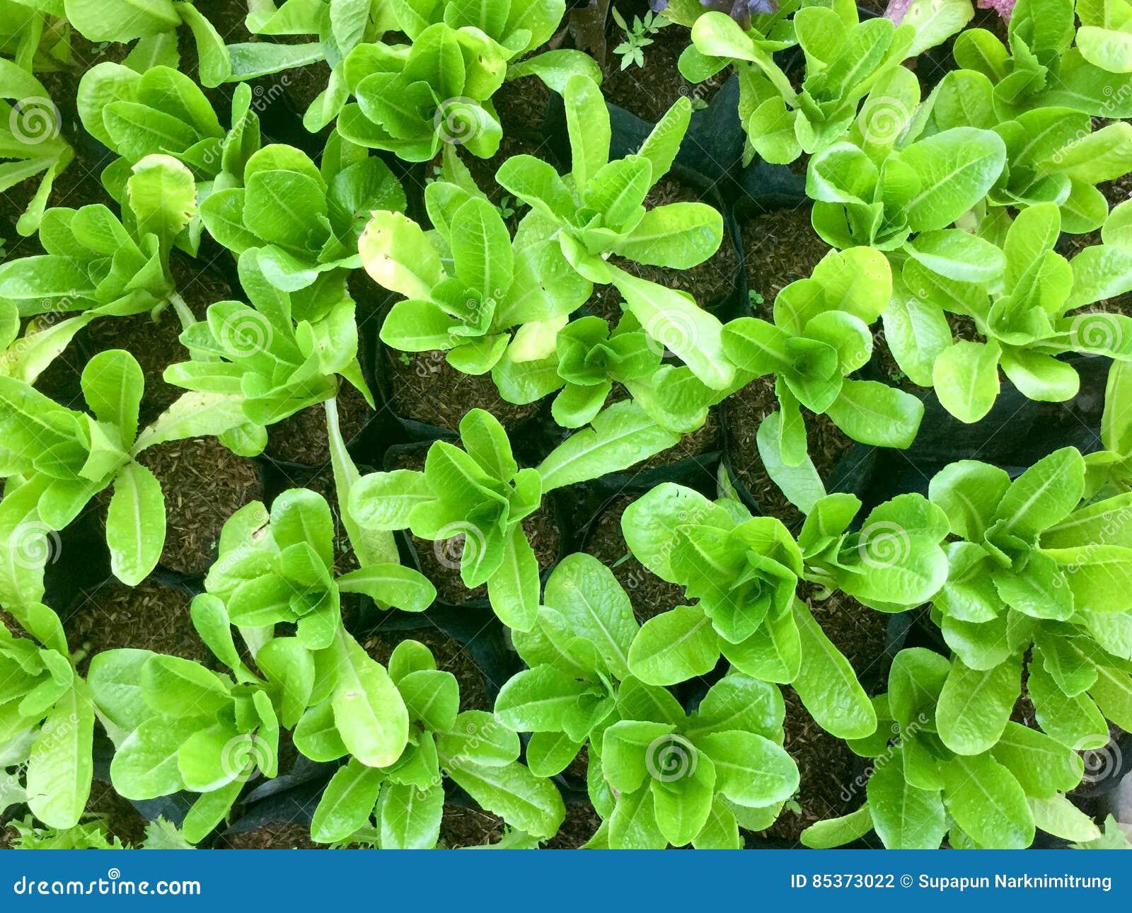 Φρέσκο οργανικό πράσινο αγρόκτημα λαχανικών σαλάτας ακατέργαστο υγιές υπόβαθρο τροφίμων veggies φυσικό Τοπ όψη