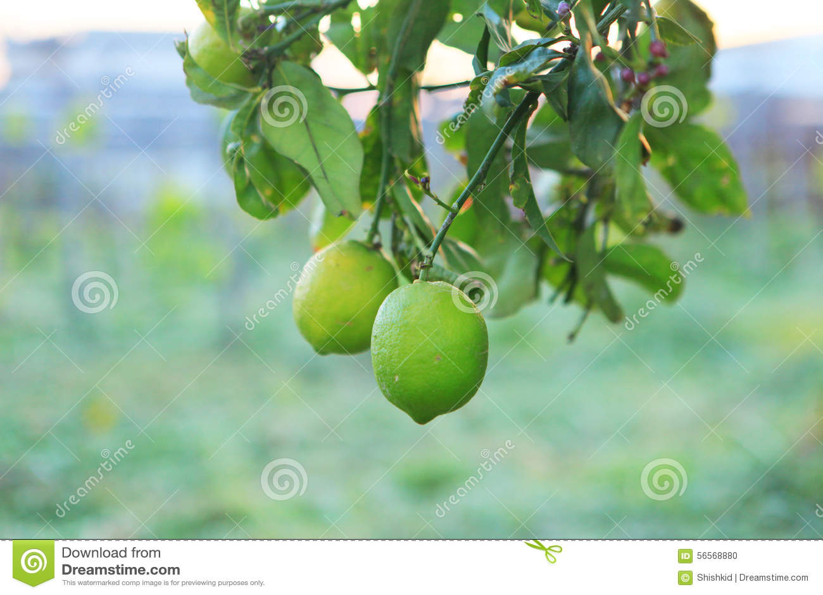 Download φρέσκο πράσινο λεμόνι στοκ εικόνες. εικόνα από εσπεριδοειδή - 56568880
