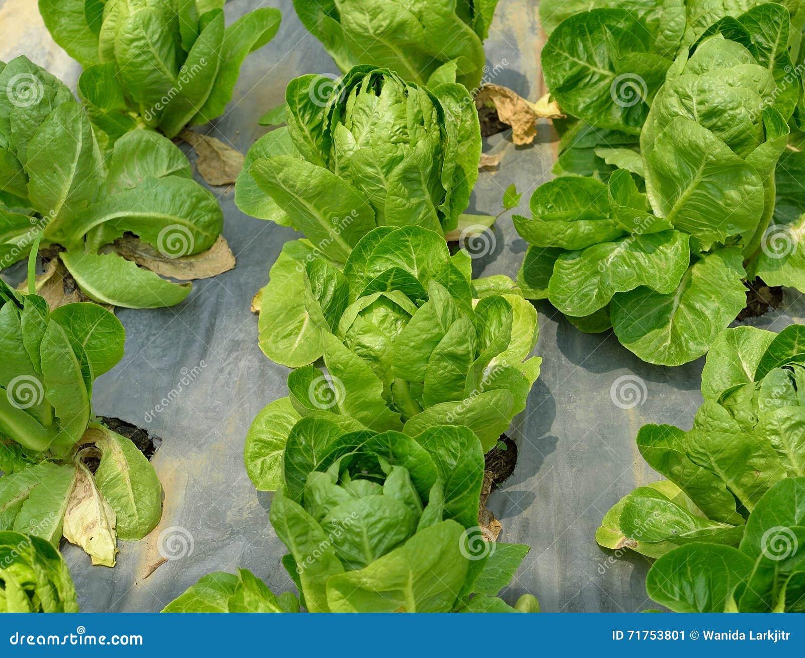 Φρέσκο πράσινο μαρούλι μαρουλιών σε έναν τομέα