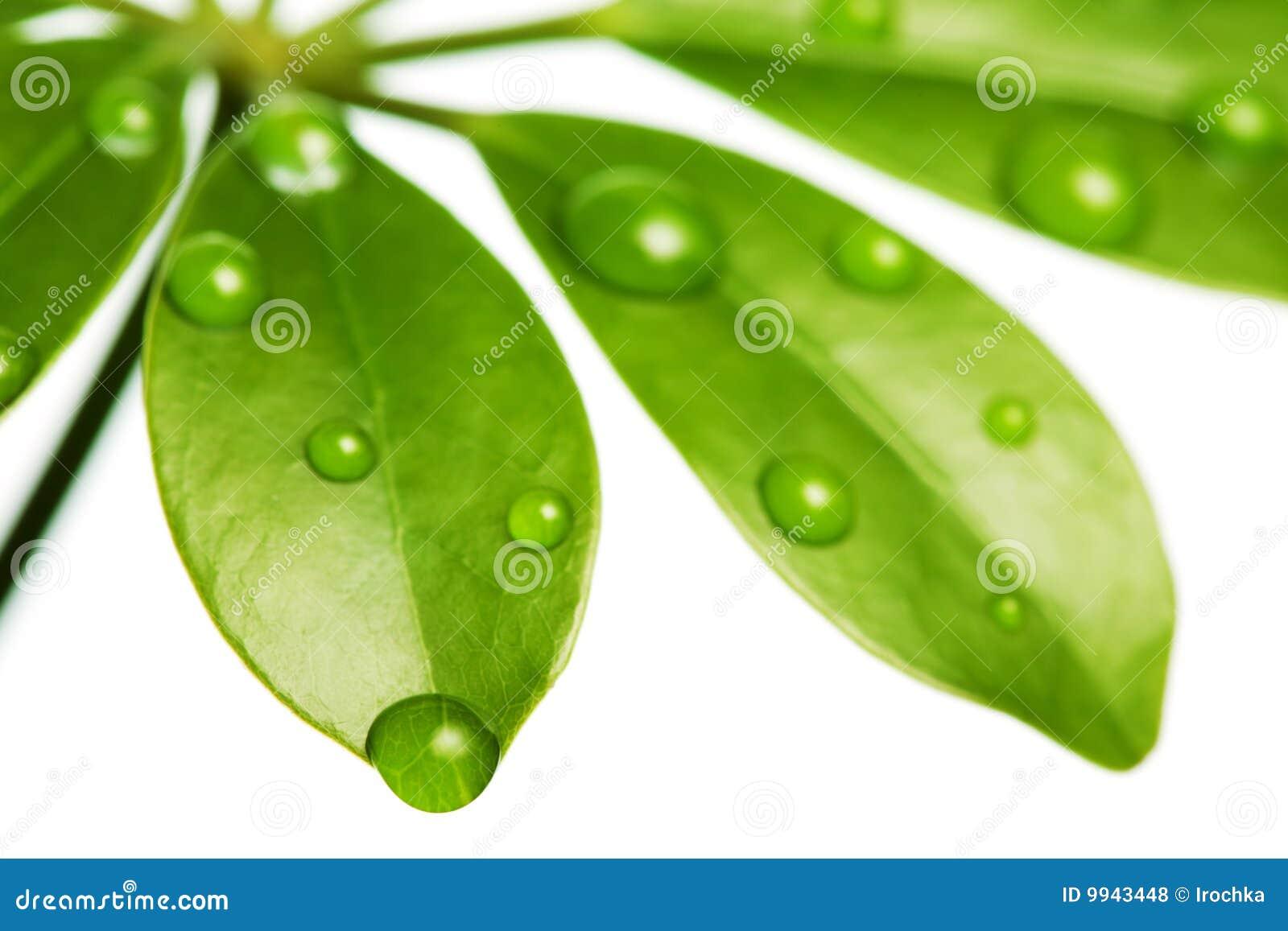 φρέσκο πράσινο ύδωρ φύλλων &al