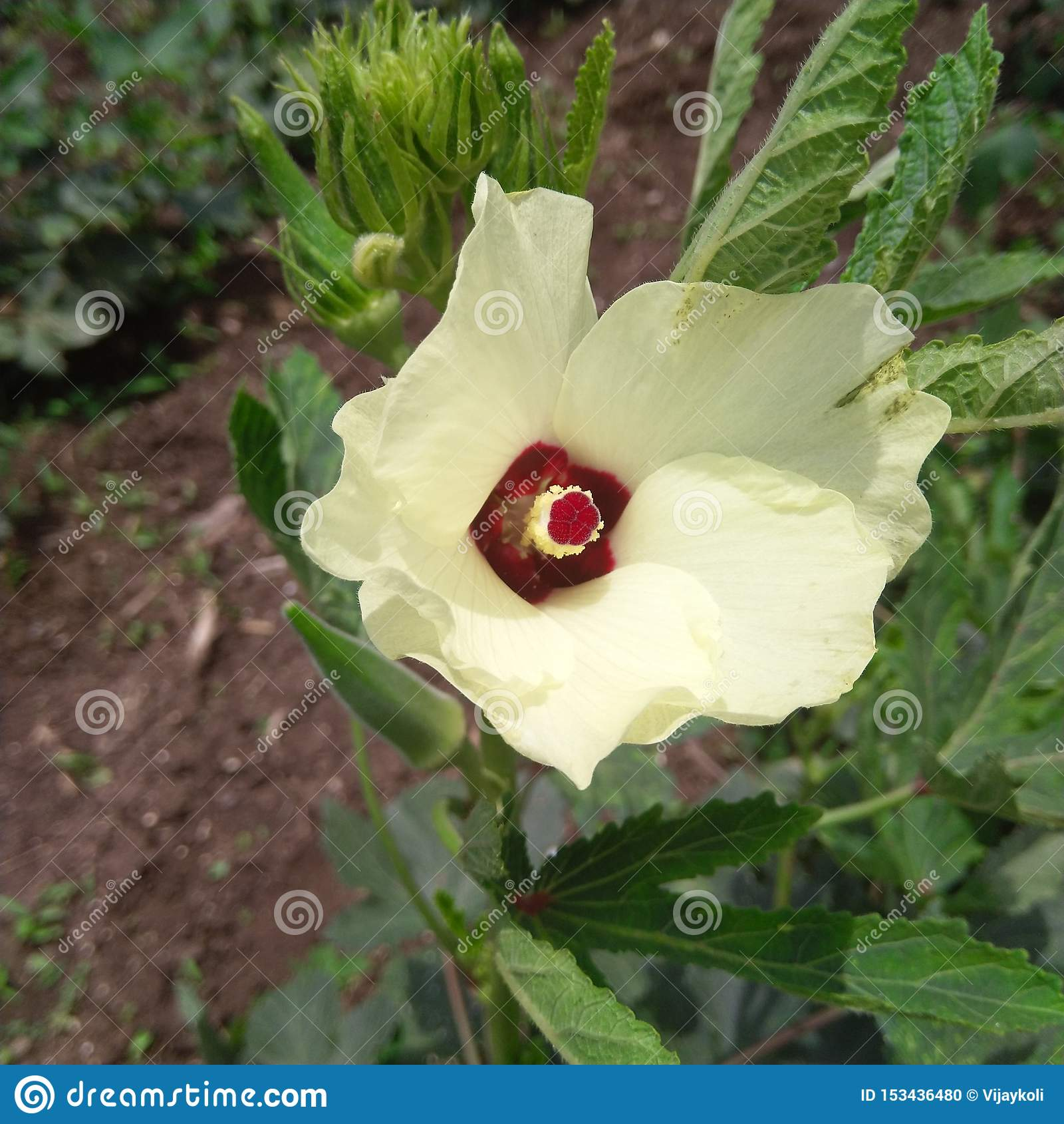Φρέσκο πράσινο Ladyfinger με το κίτρινο χώμα λουλουδιών blackblack