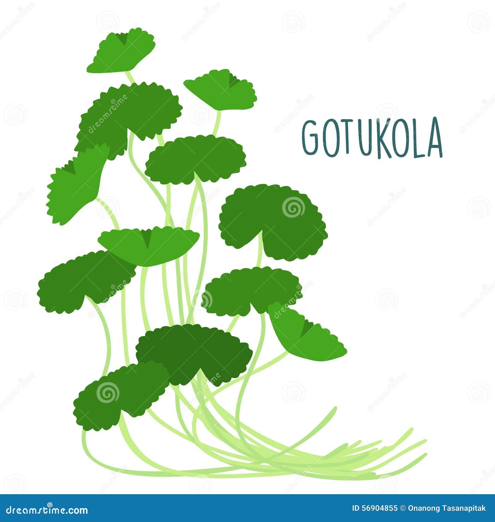 Φρέσκο φύλλο gotukola μέσα με το backgruond