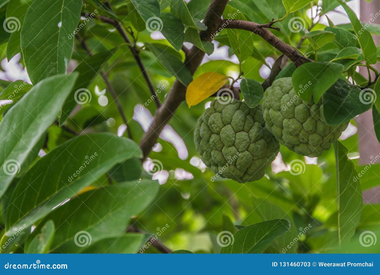 Φρούτα μήλων κρέμας σε έναν κλάδο