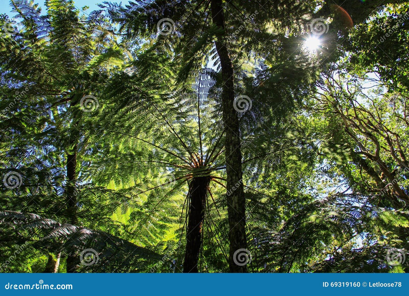 Φτέρες δέντρων, εθνικό πάρκο Amboro, Samaipata, Βολιβία